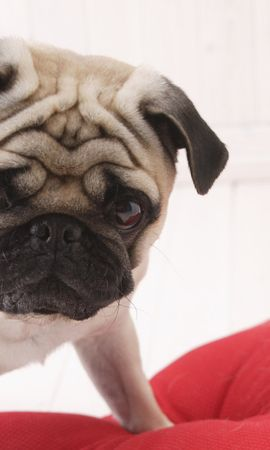 9779 download wallpaper Animals, Dogs, Pugs screensavers and pictures for free