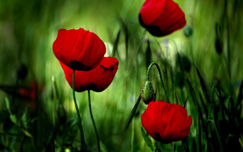 33568 скачать обои Растения, Цветы, Маки - заставки и картинки бесплатно