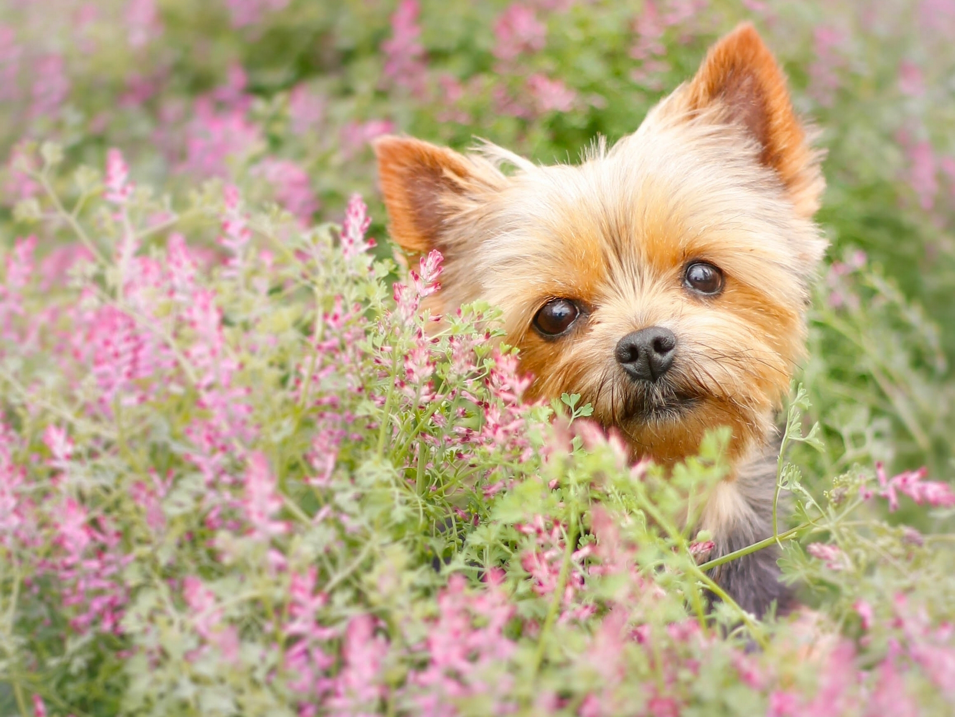 73875 Screensavers and Wallpapers Puppy for phone. Download Animals, Flowers, Muzzle, Puppy, Yorkshire Terrier pictures for free