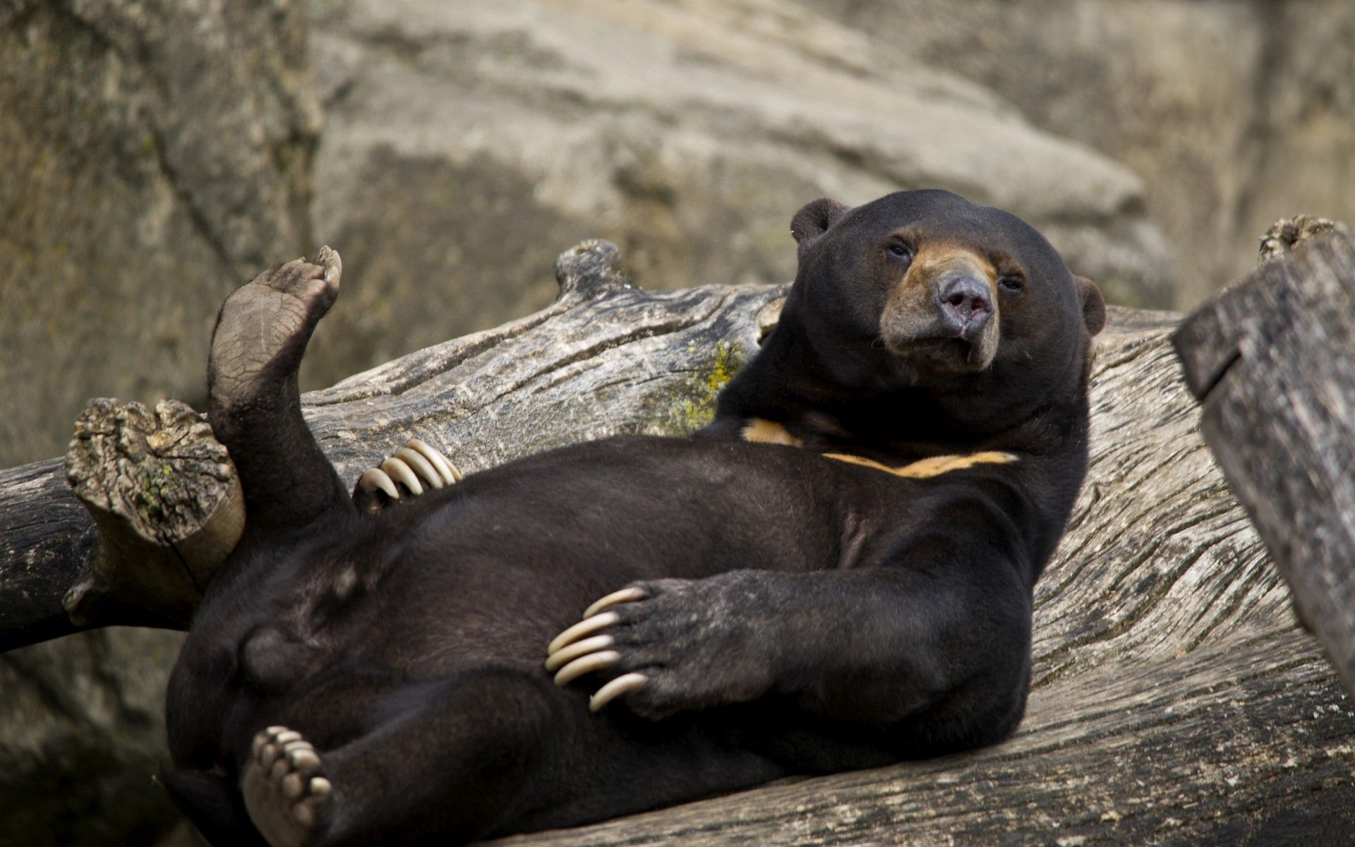 76338 download wallpaper Animals, Bear, To Lie Down, Lie, Cool, Logs screensavers and pictures for free