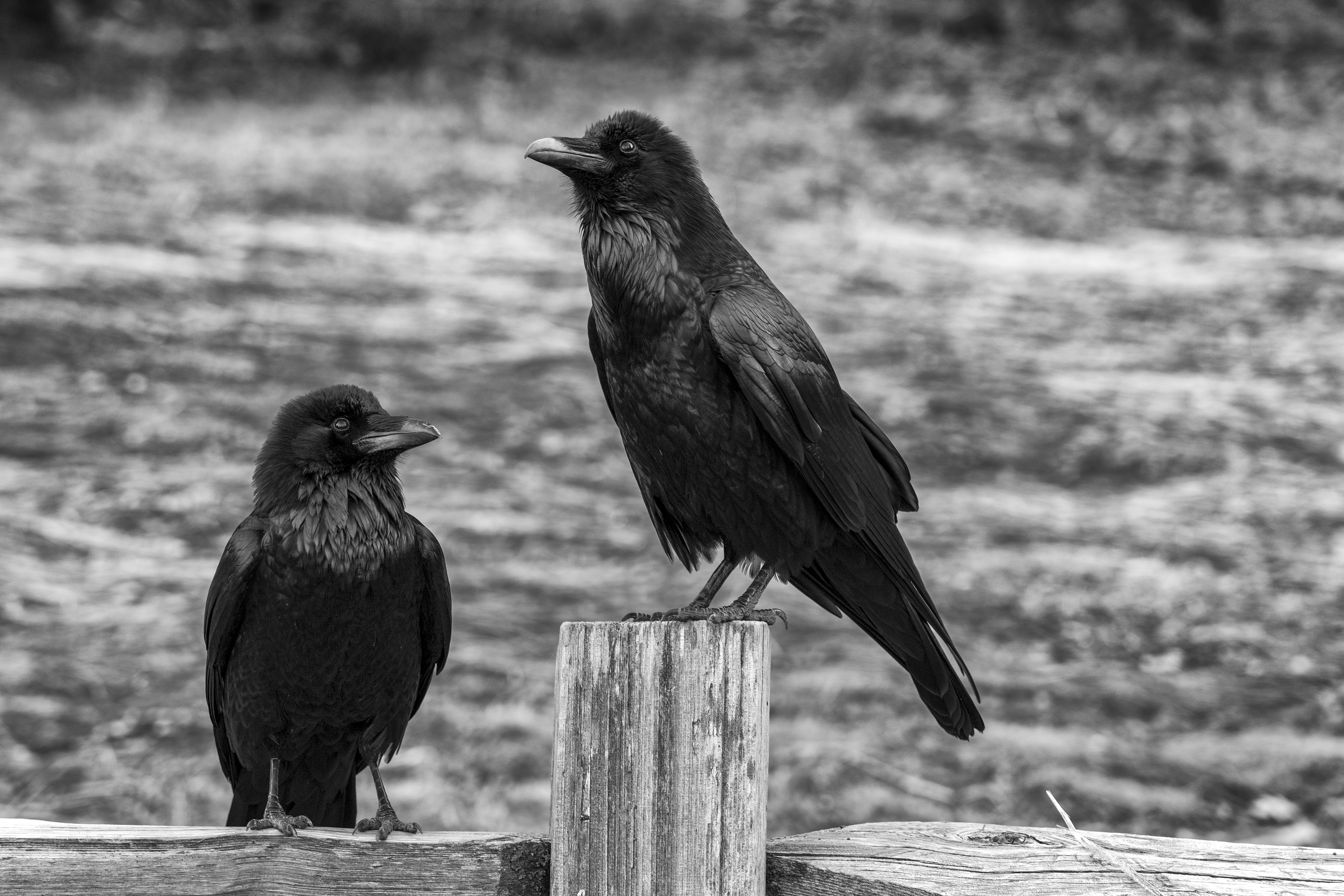 130954 download wallpaper Animals, Bw, Chb, Birds, Crows screensavers and pictures for free