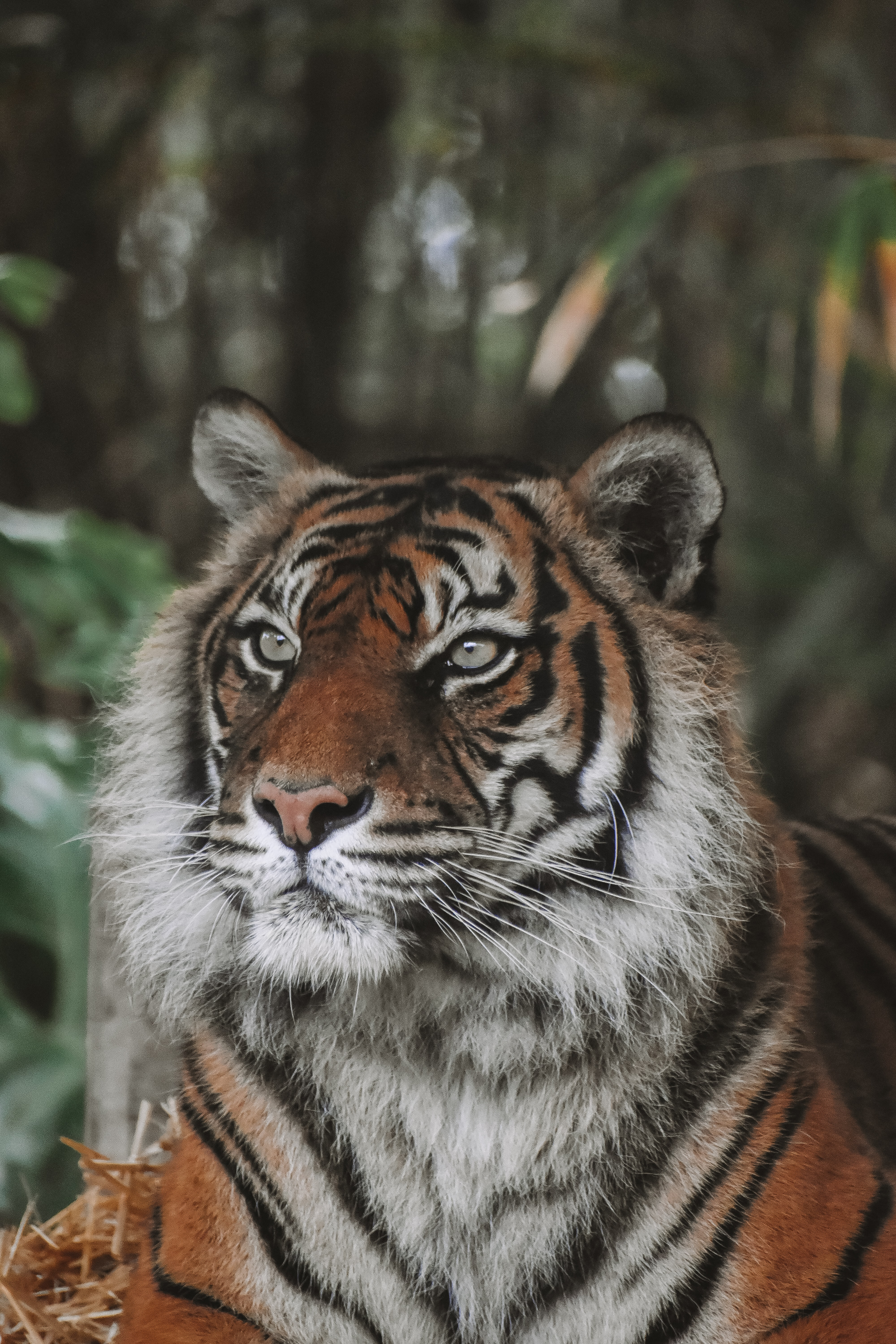 118837 download wallpaper Animals, Tiger, Predator, Big Cat, Animal, Wildlife screensavers and pictures for free