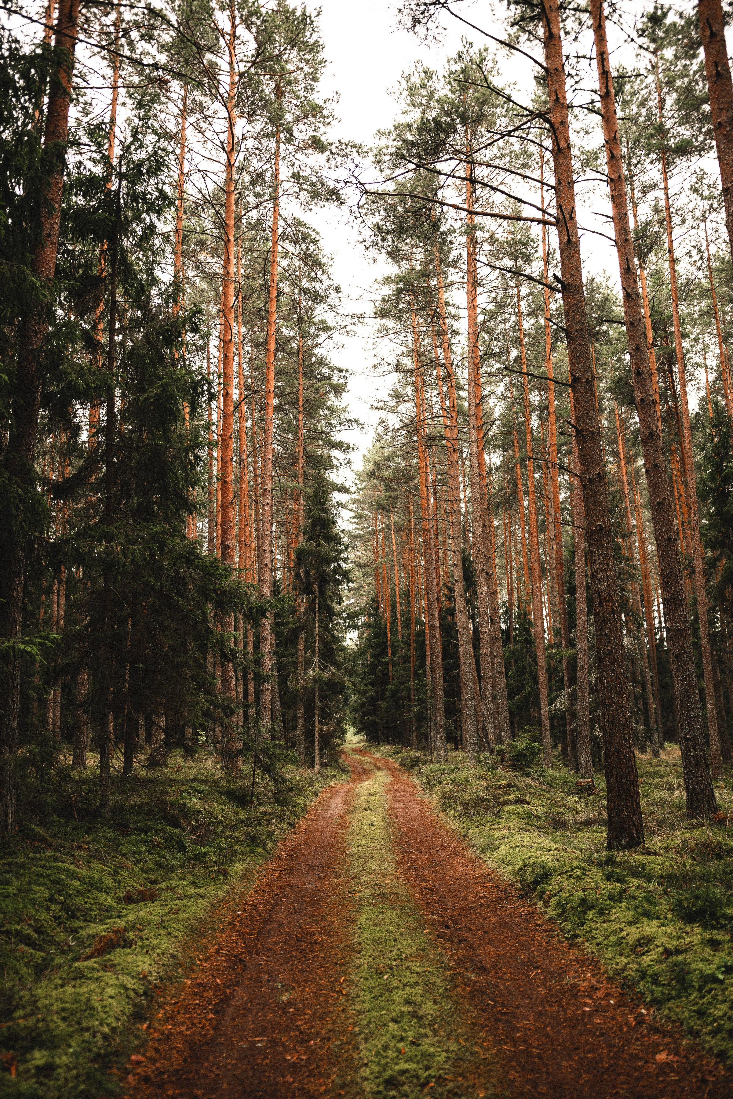 127200 Screensavers and Wallpapers Pine for phone. Download Nature, Trees, Pine, Road, Forest pictures for free