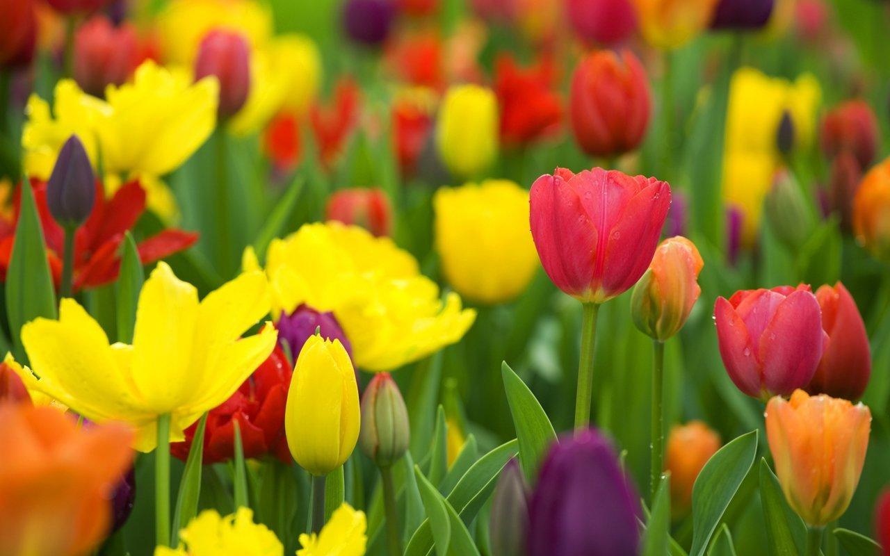 21778 скачать обои Растения, Цветы, Тюльпаны - заставки и картинки бесплатно