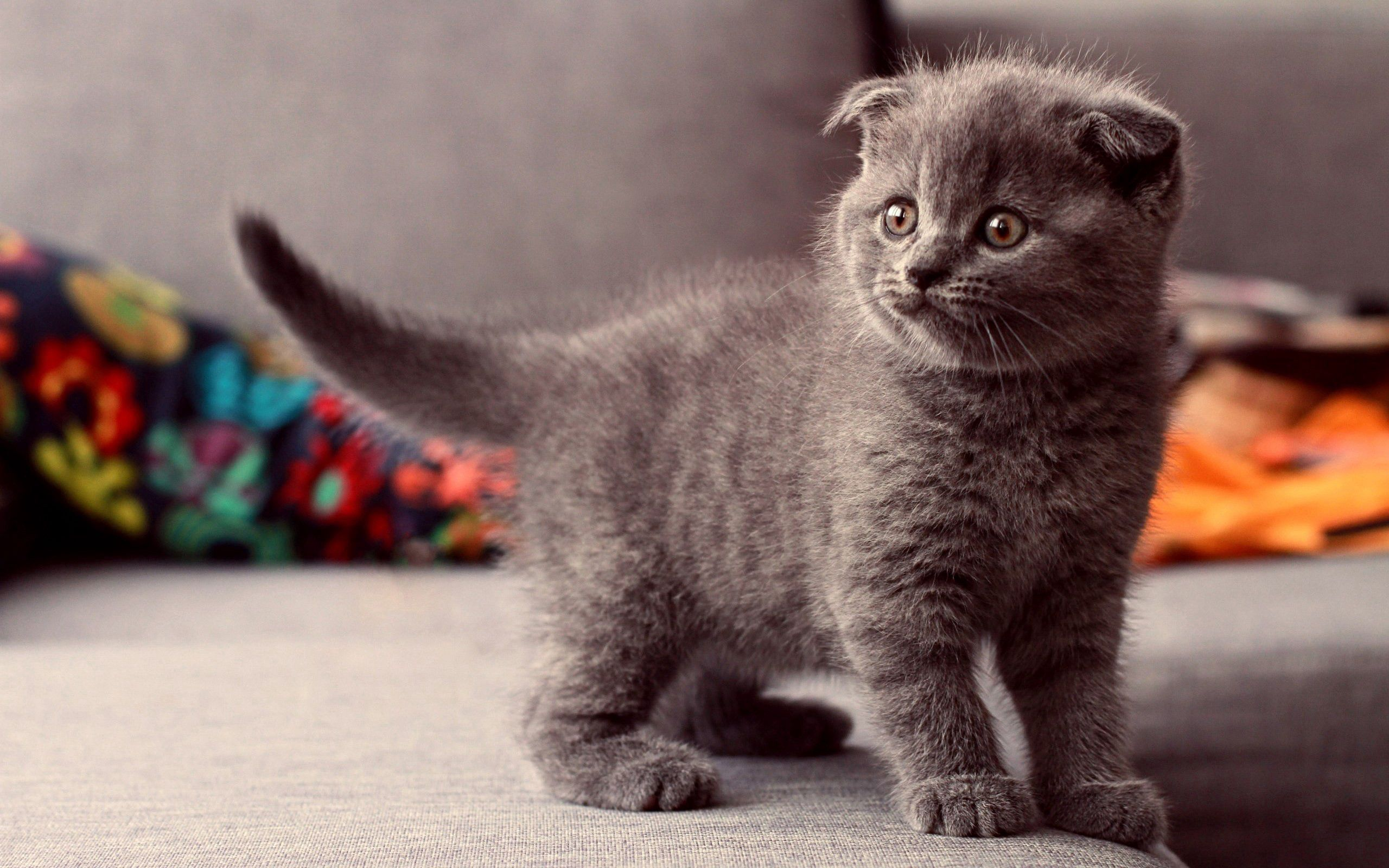 150325 Screensavers and Wallpapers Kitten for phone. Download Animals, Cat, Kitty, Kitten, Grey, Briton pictures for free