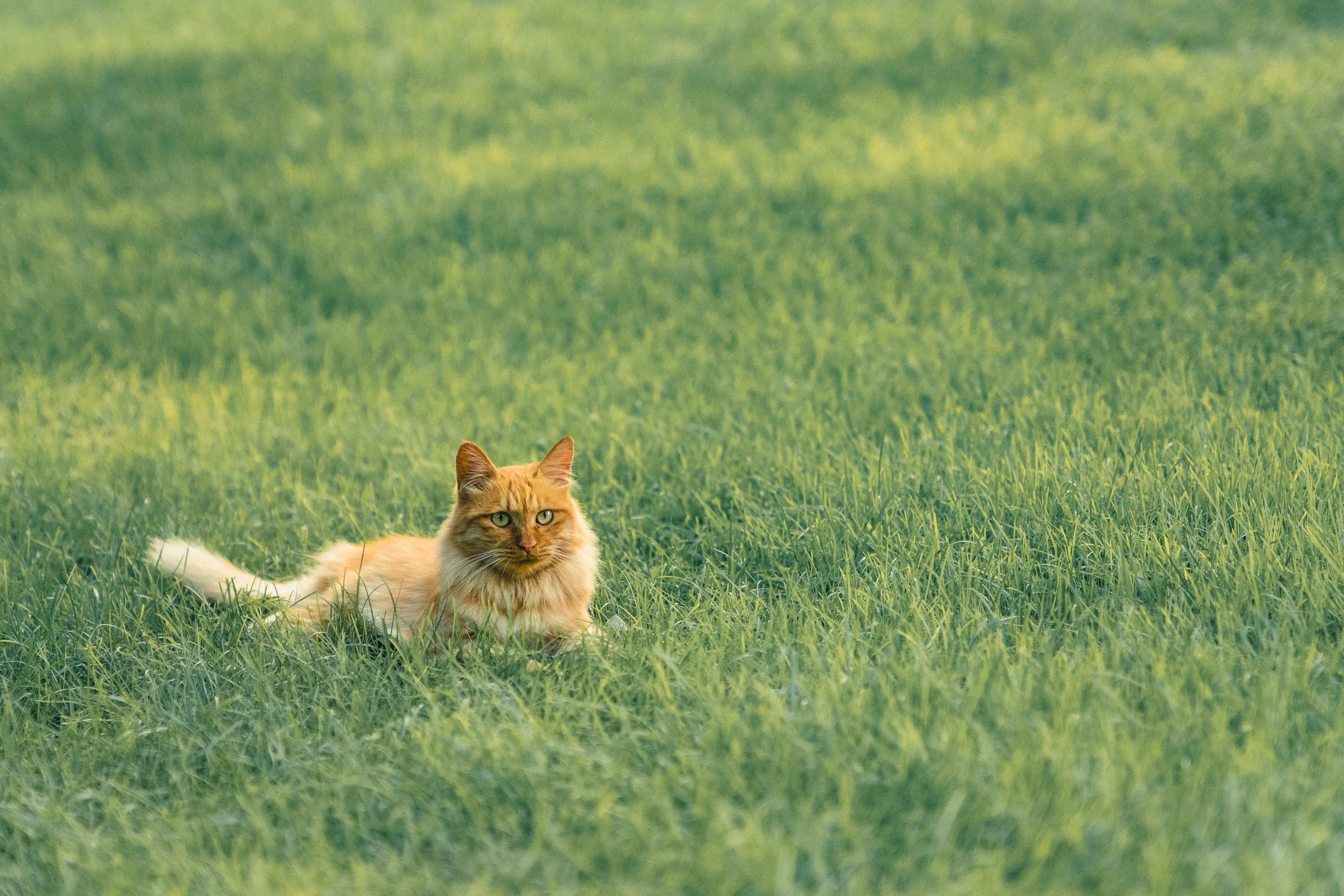 99342 download wallpaper Animals, Cat, Pet, Fluffy, Redhead, Grass screensavers and pictures for free