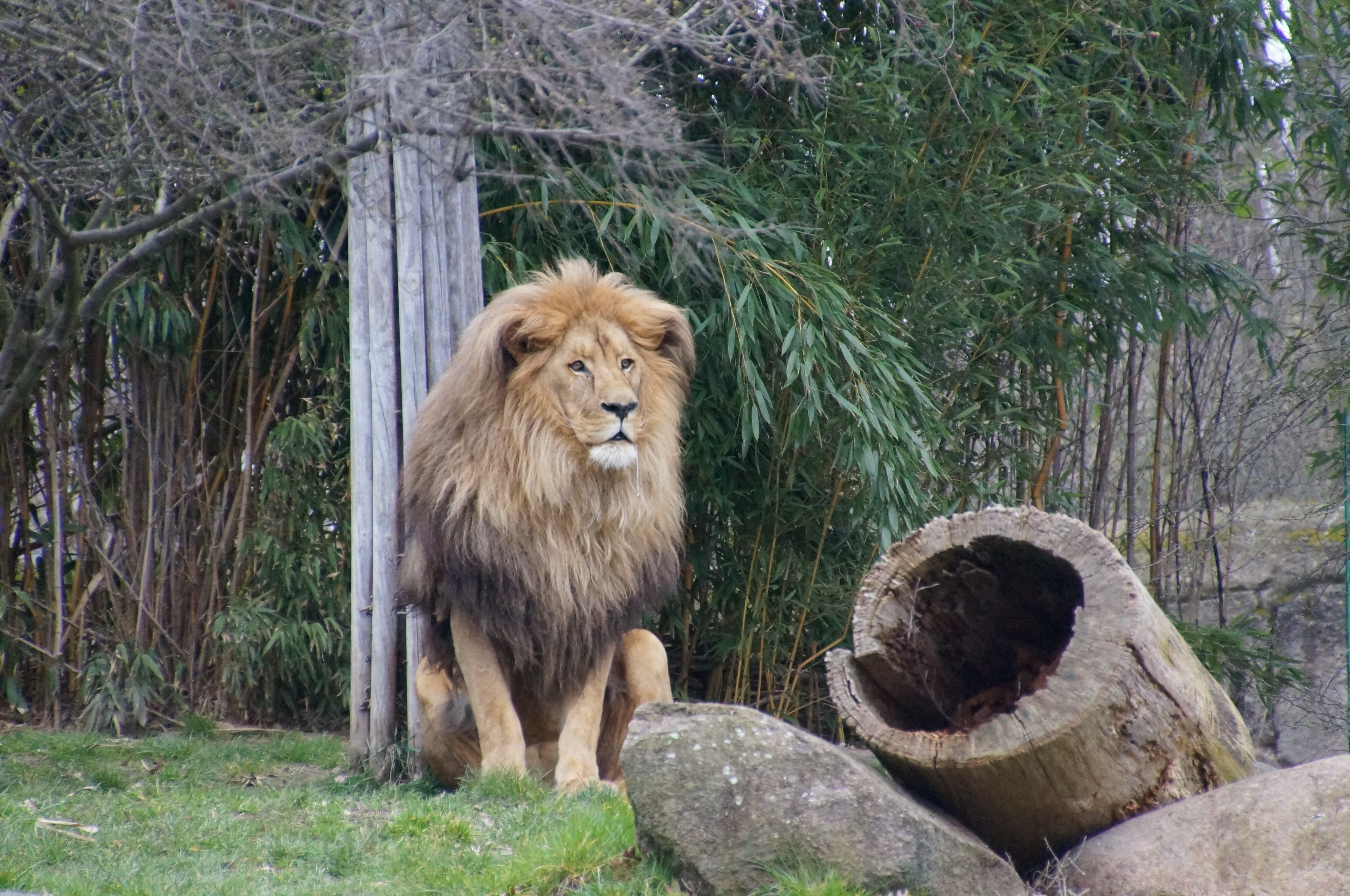 155263 download wallpaper Predator, Animals, Grass, Lion, Beast screensavers and pictures for free