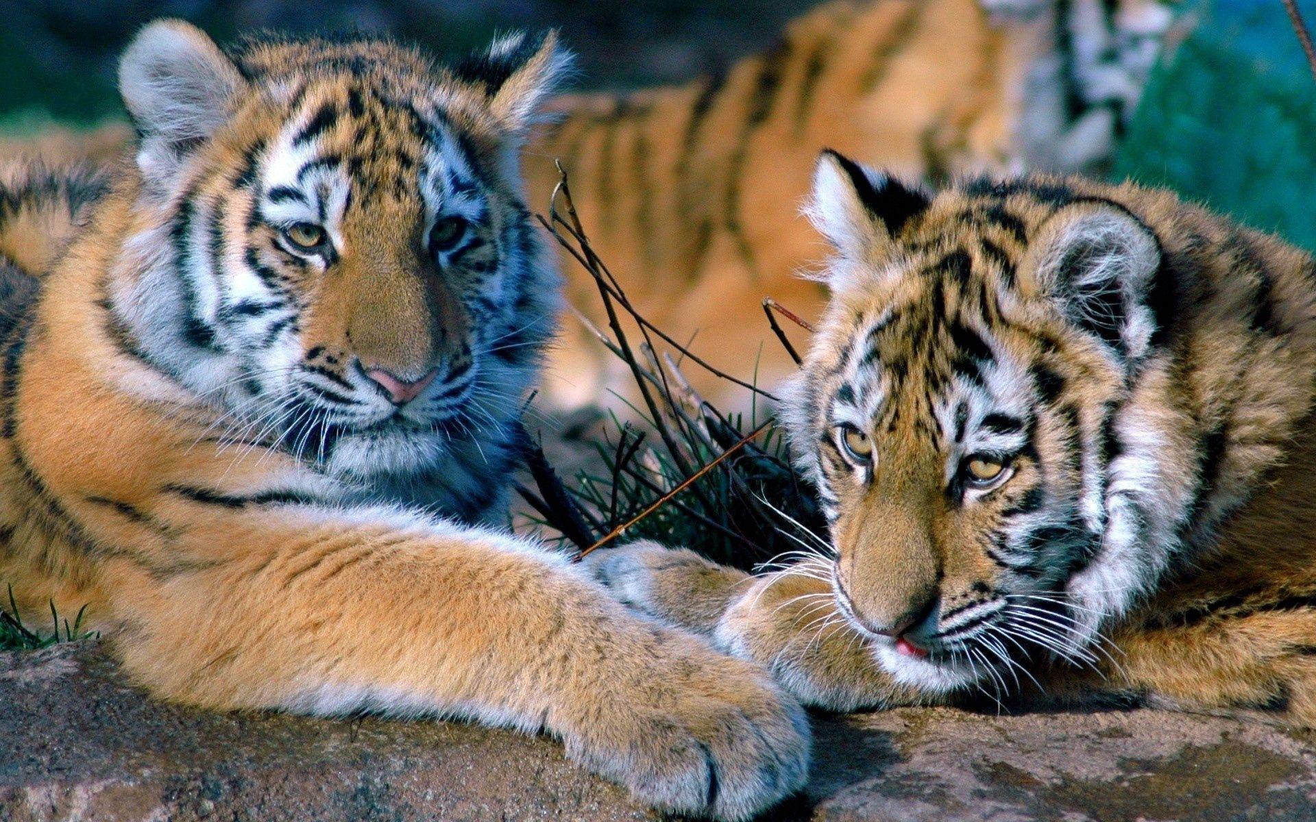 57760 descargar fondo de pantalla Animales, Pareja, Par, Tumbarse, Mentir, Una Familia, Familia, Depredadores, Tigres: protectores de pantalla e imágenes gratis