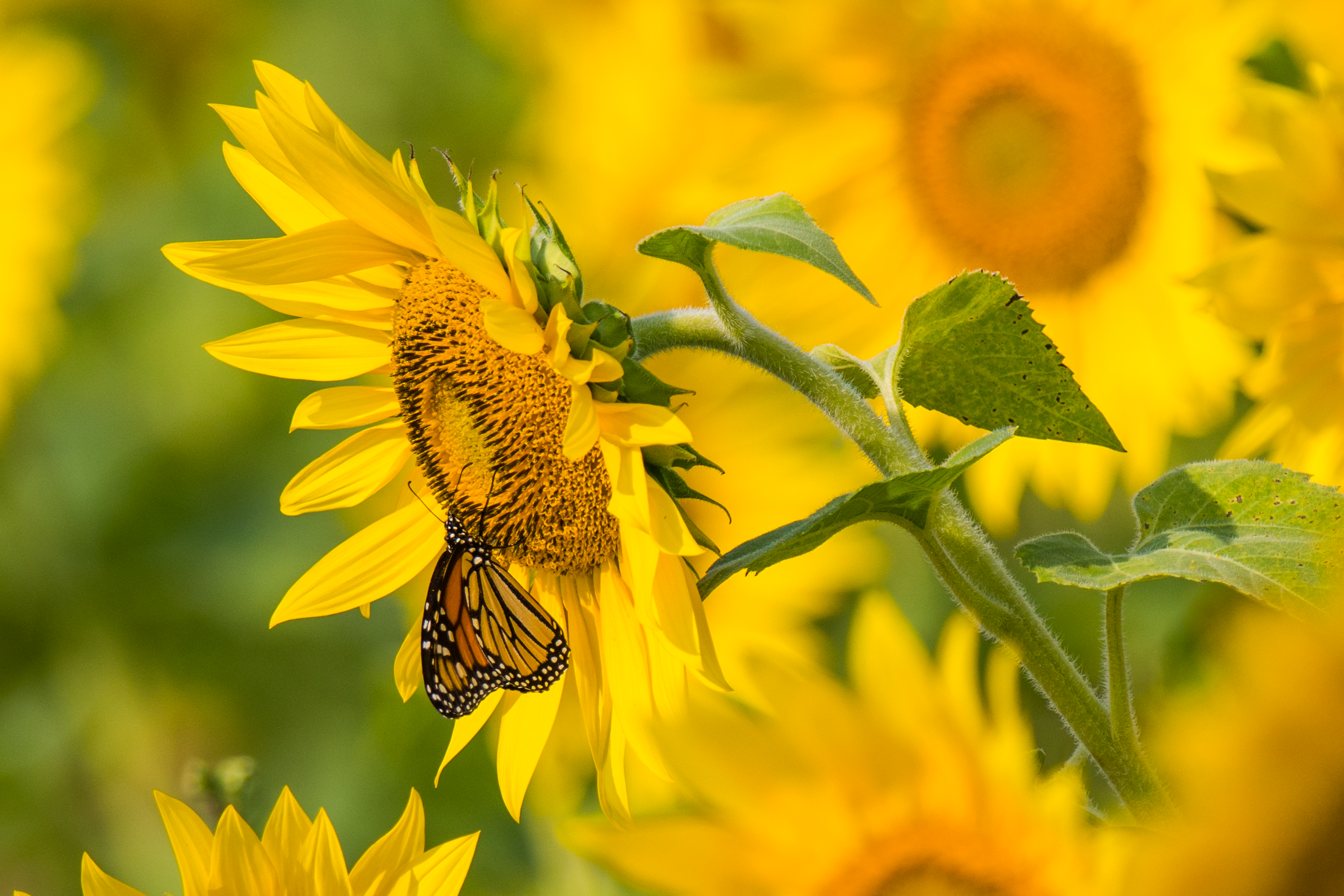 113108 Screensavers and Wallpapers Butterfly for phone. Download Flowers, Summer, Butterfly, Sunflower pictures for free