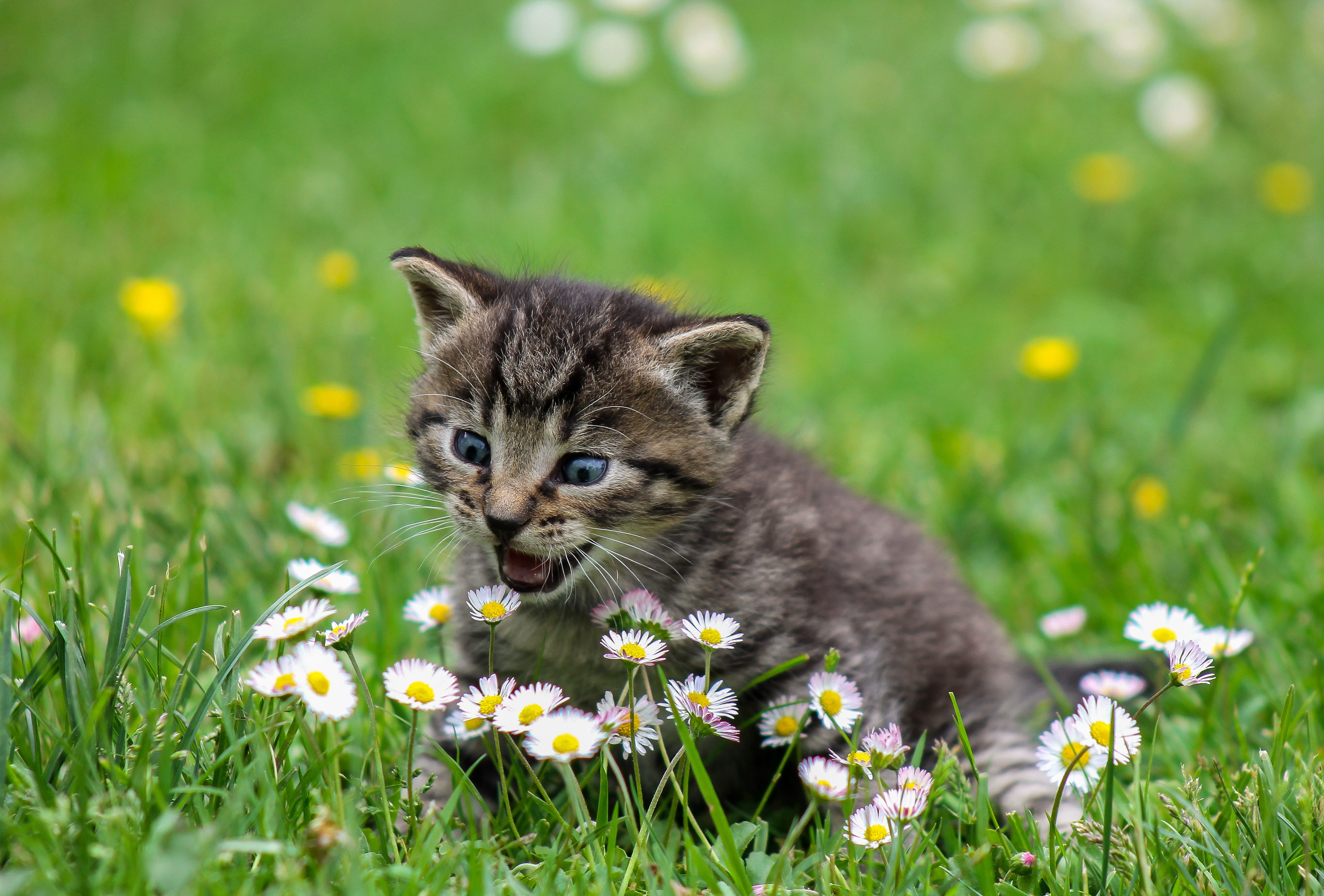 121535 download wallpaper Animals, Kitty, Kitten, Funny, Nice, Sweetheart, Surprise, Astonishment, Stroll, Flowers screensavers and pictures for free