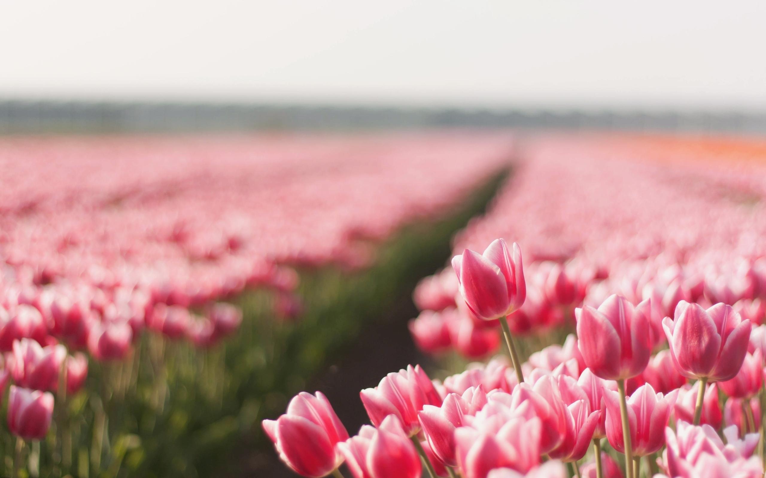48974 скачать Красные обои на телефон бесплатно, Растения, Пейзаж, Цветы, Поля, Тюльпаны Красные картинки и заставки на мобильный