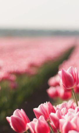 48974 скачать обои Растения, Пейзаж, Цветы, Поля, Тюльпаны - заставки и картинки бесплатно
