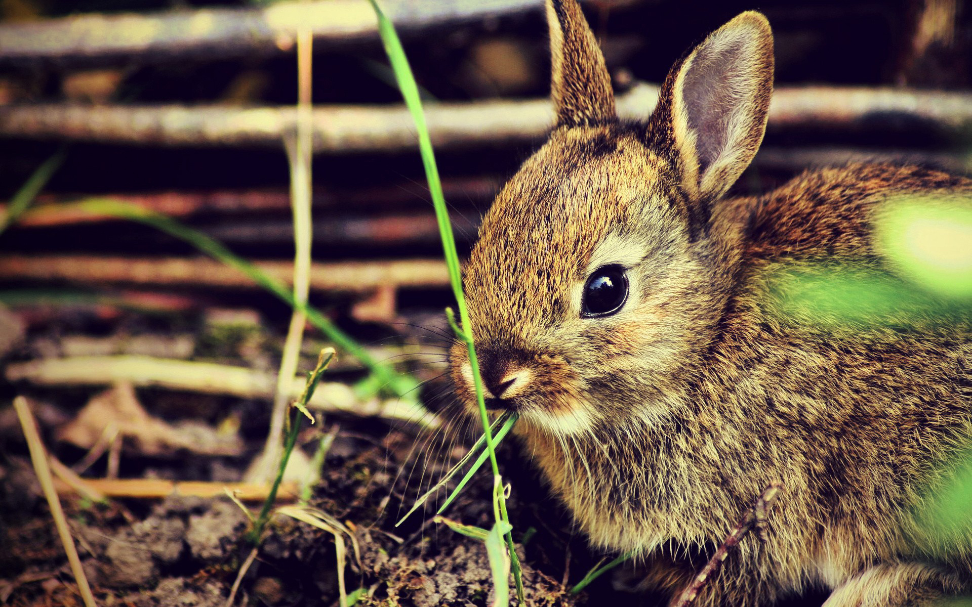 25531 download wallpaper Animals, Rabbits screensavers and pictures for free