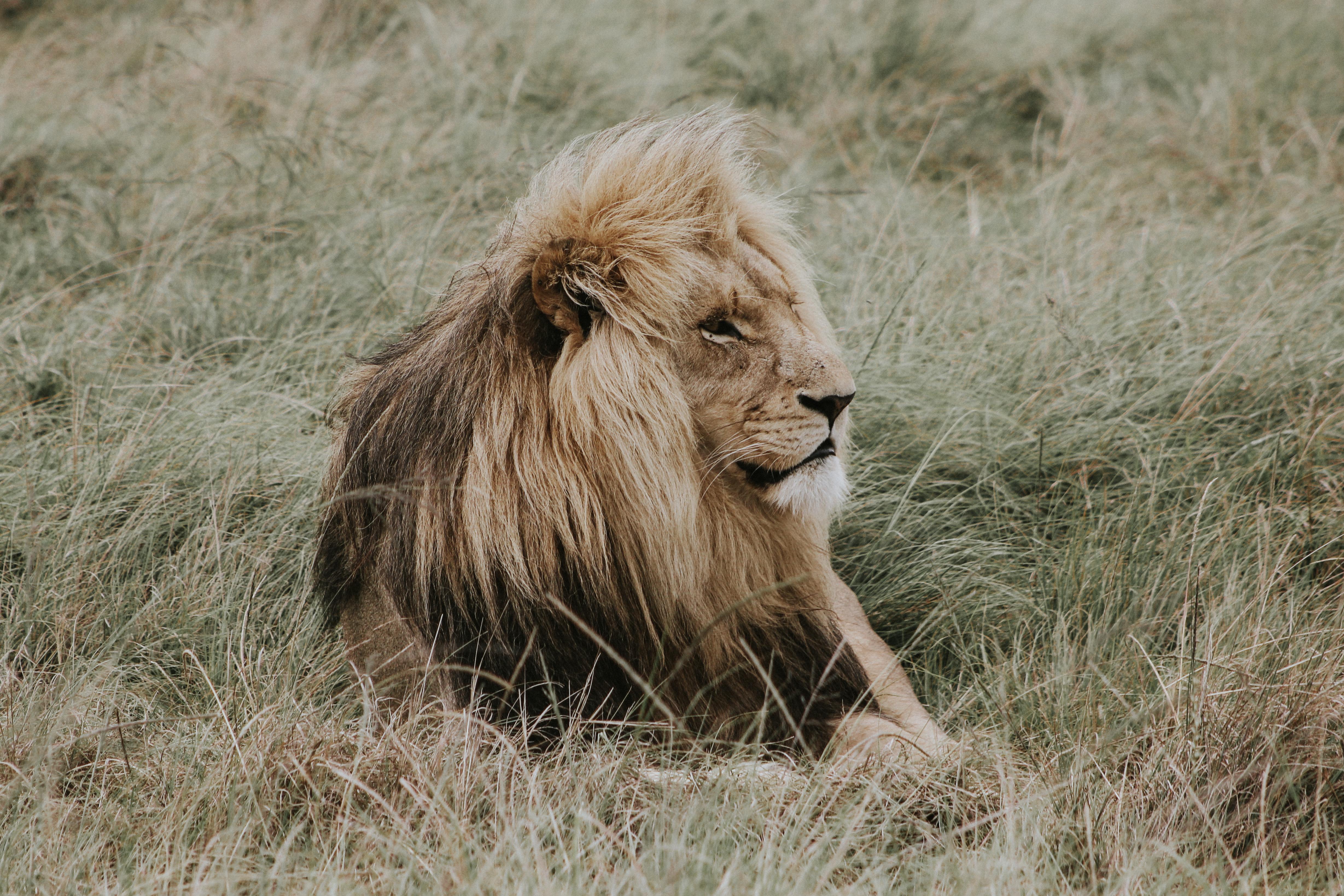 114314 Protetores de tela e papéis de parede Leão em seu telefone. Baixe Animais, Leão, Um Leão, Predator, Predador, Juba, Rei Das Feras, Rei Das Bestas fotos gratuitamente