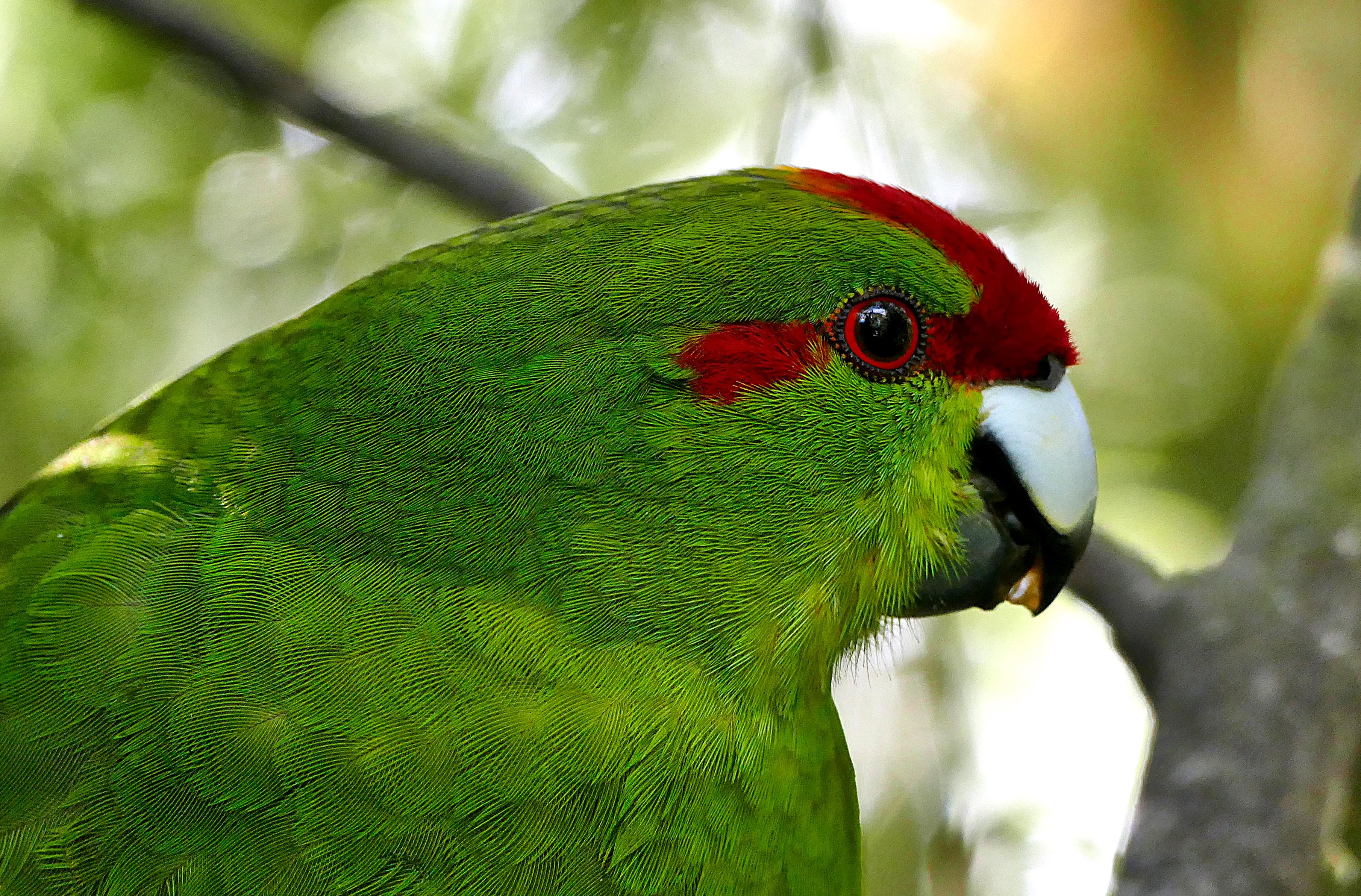 68142 скачать обои Животные, Попугаи, Птица, Зеленый, Перья - заставки и картинки бесплатно