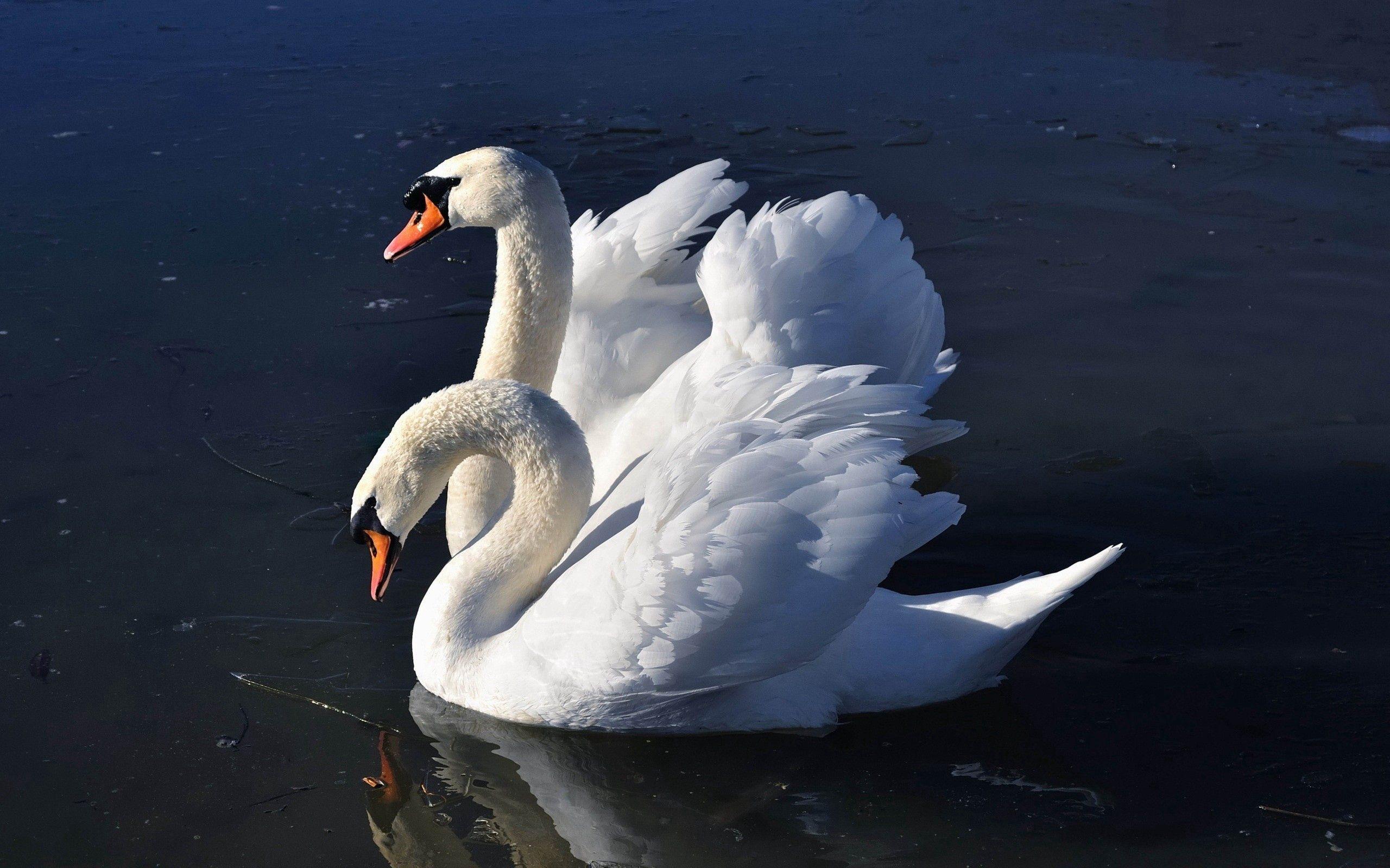 150332 Hintergrundbild herunterladen Tiere, Vögel, Wasser, Swans - Bildschirmschoner und Bilder kostenlos