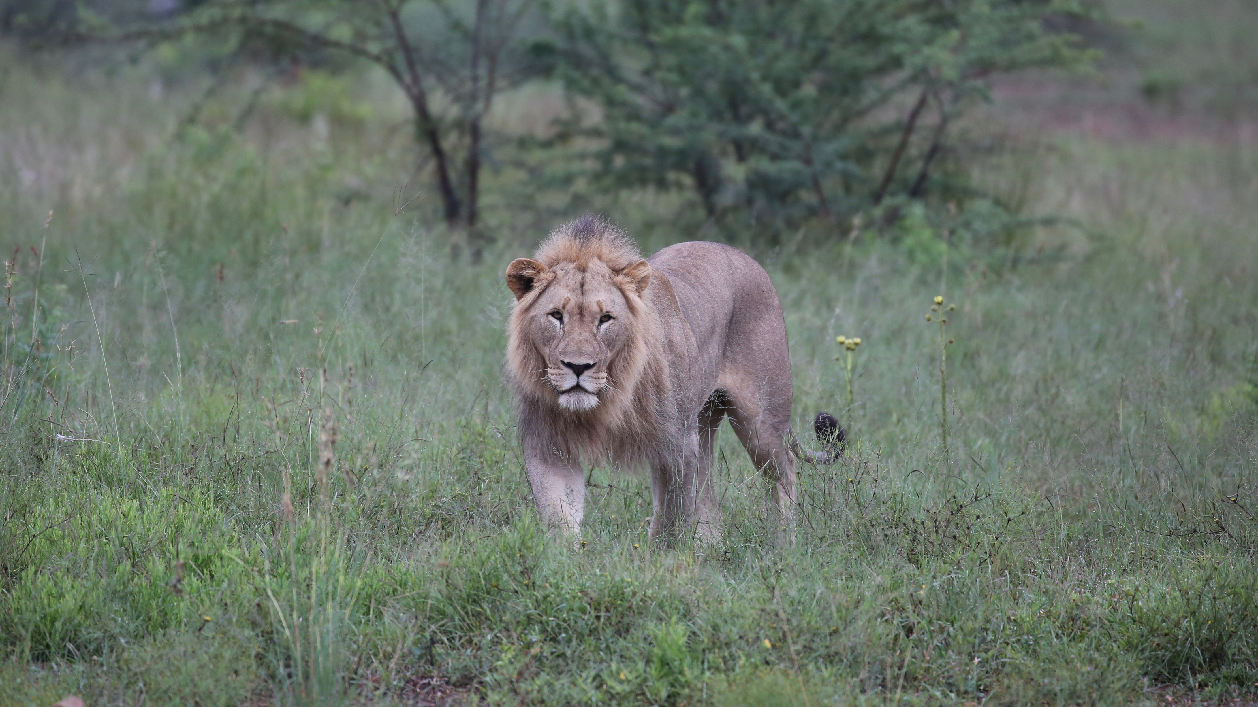 147561 download wallpaper Animals, Lion, Big Cat, Predator, Bush screensavers and pictures for free