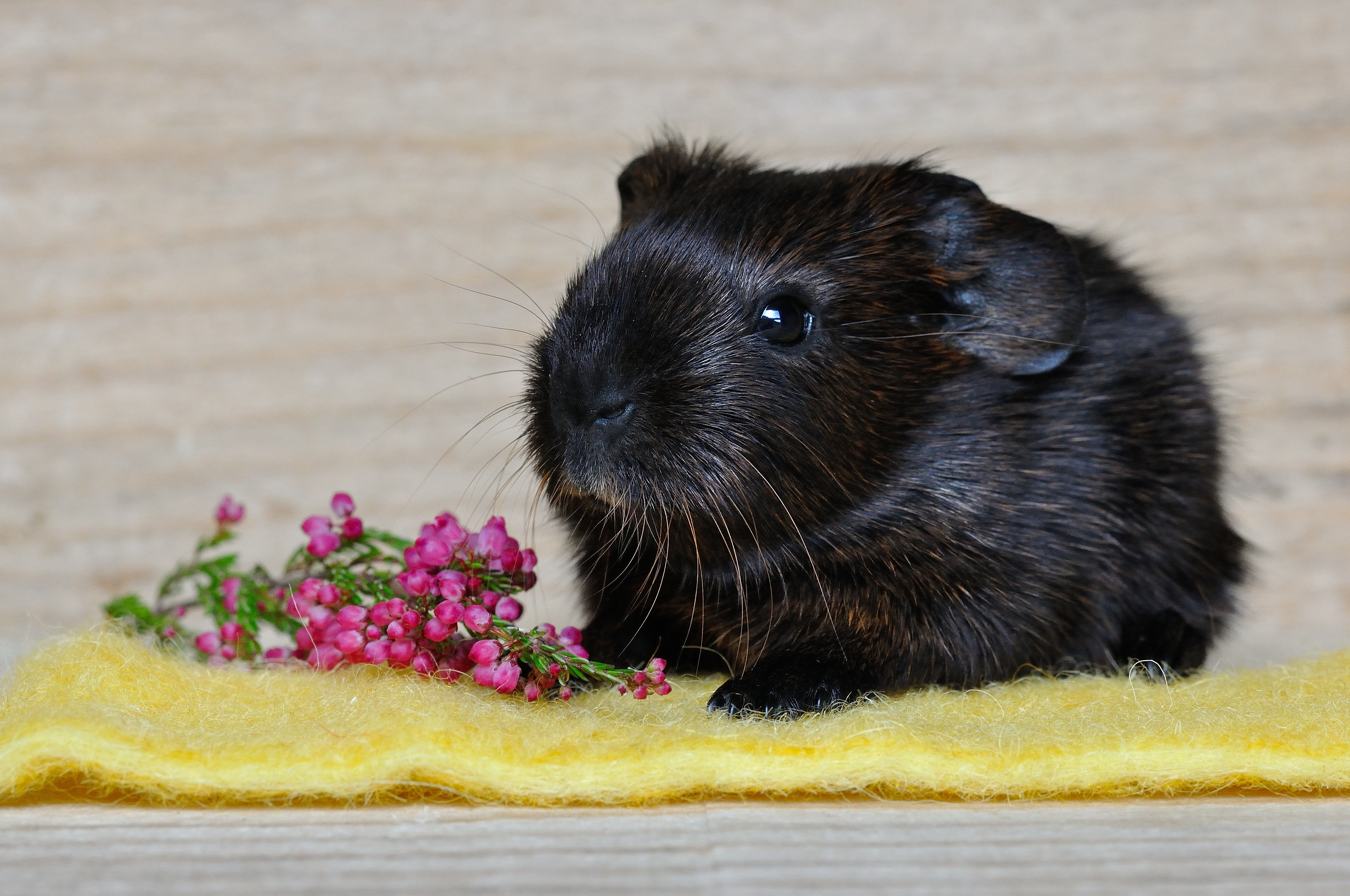 139626 download wallpaper Animals, Guinea Pig, Rodent screensavers and pictures for free