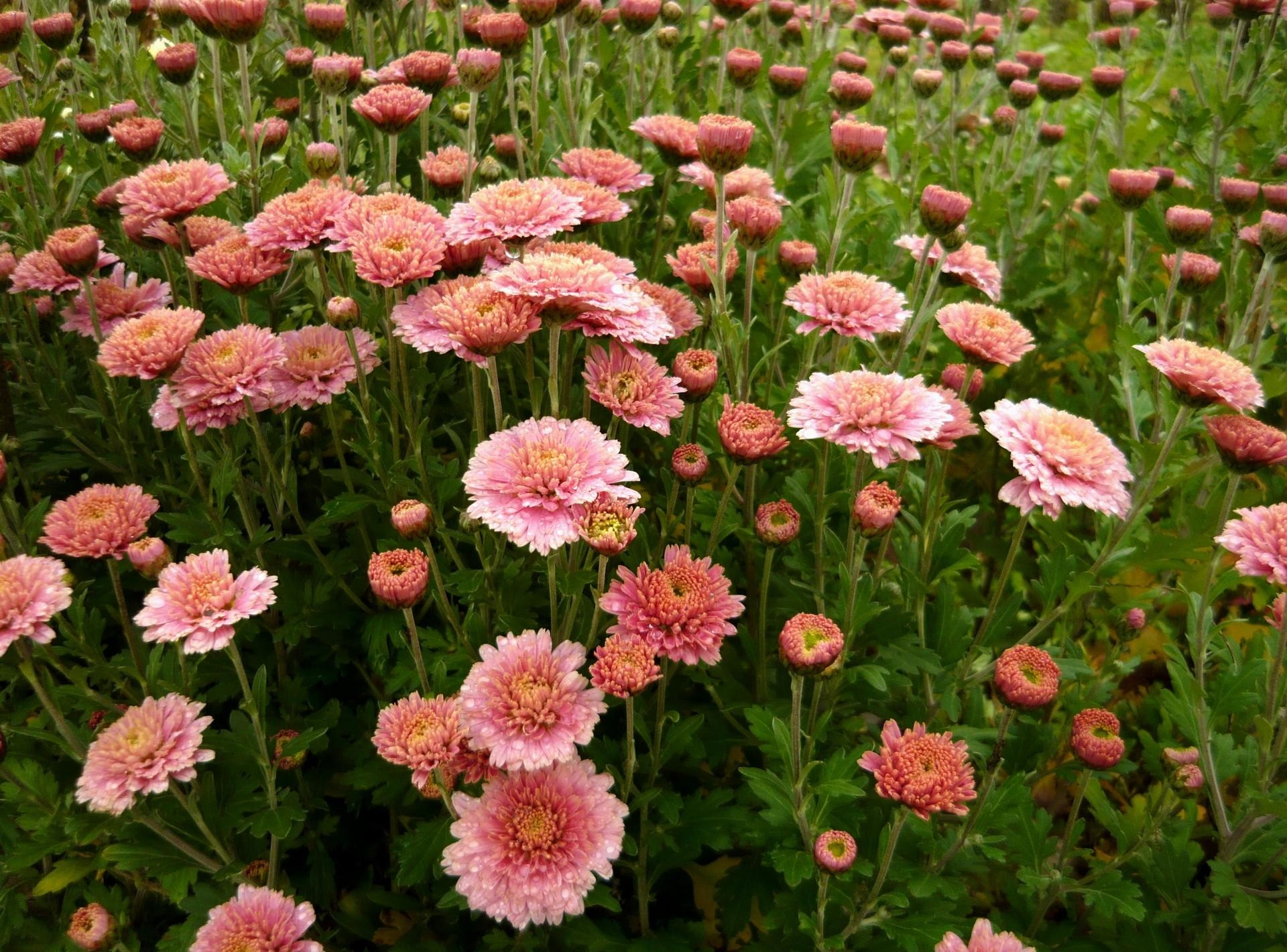 89097 Screensavers and Wallpapers Flower Bed for phone. Download Flowers, Greens, Flower Bed, Flowerbed, Asters pictures for free