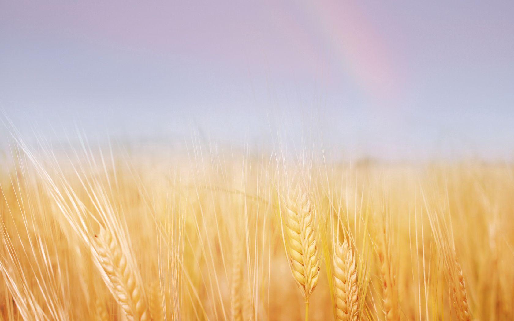 133314 скачать обои Природа, Колосья, Поле, Золотая, Небо, Радуга, Пшеница - заставки и картинки бесплатно