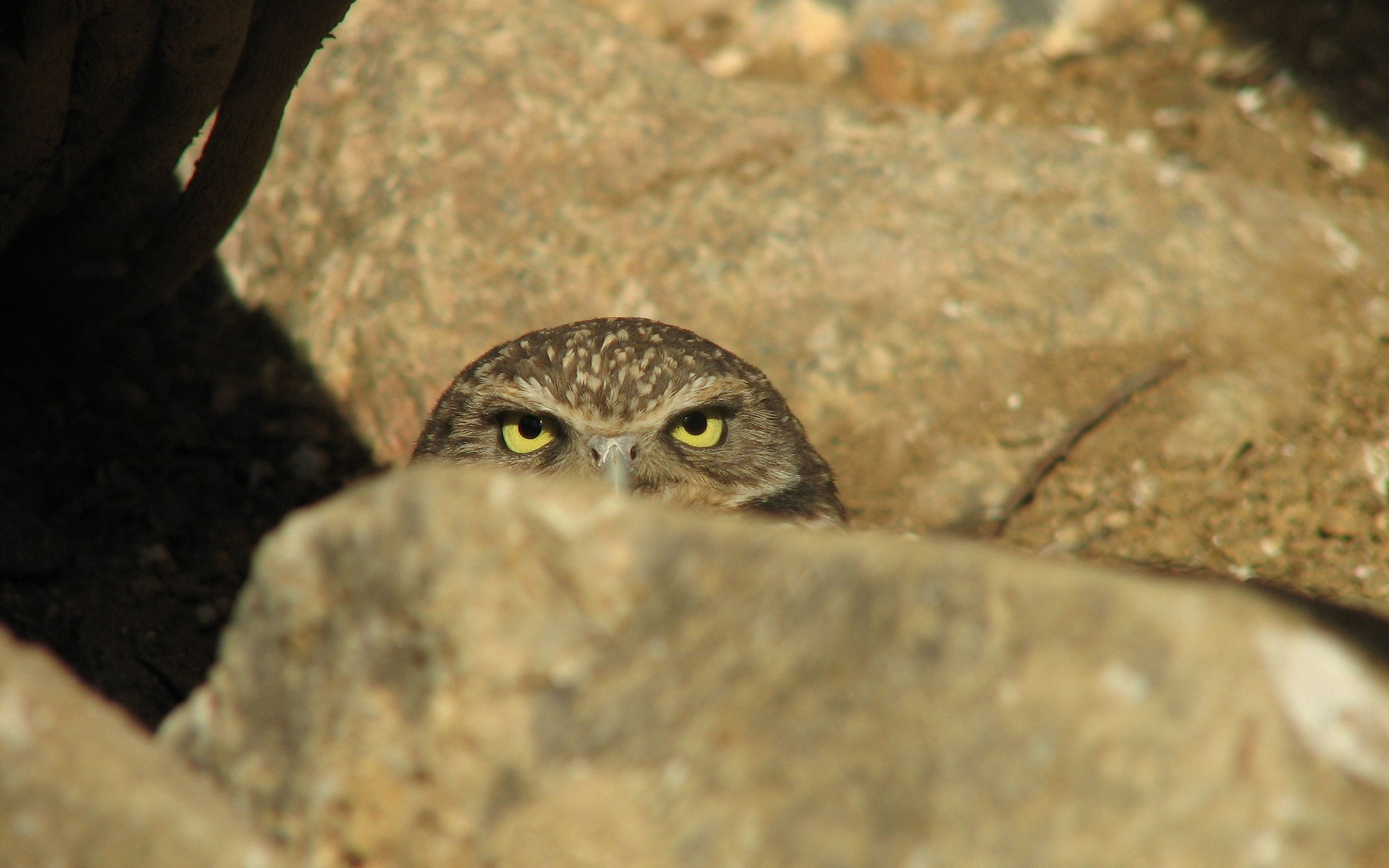 136299 download wallpaper Animals, Owl, Rock, Stone, Ambush screensavers and pictures for free