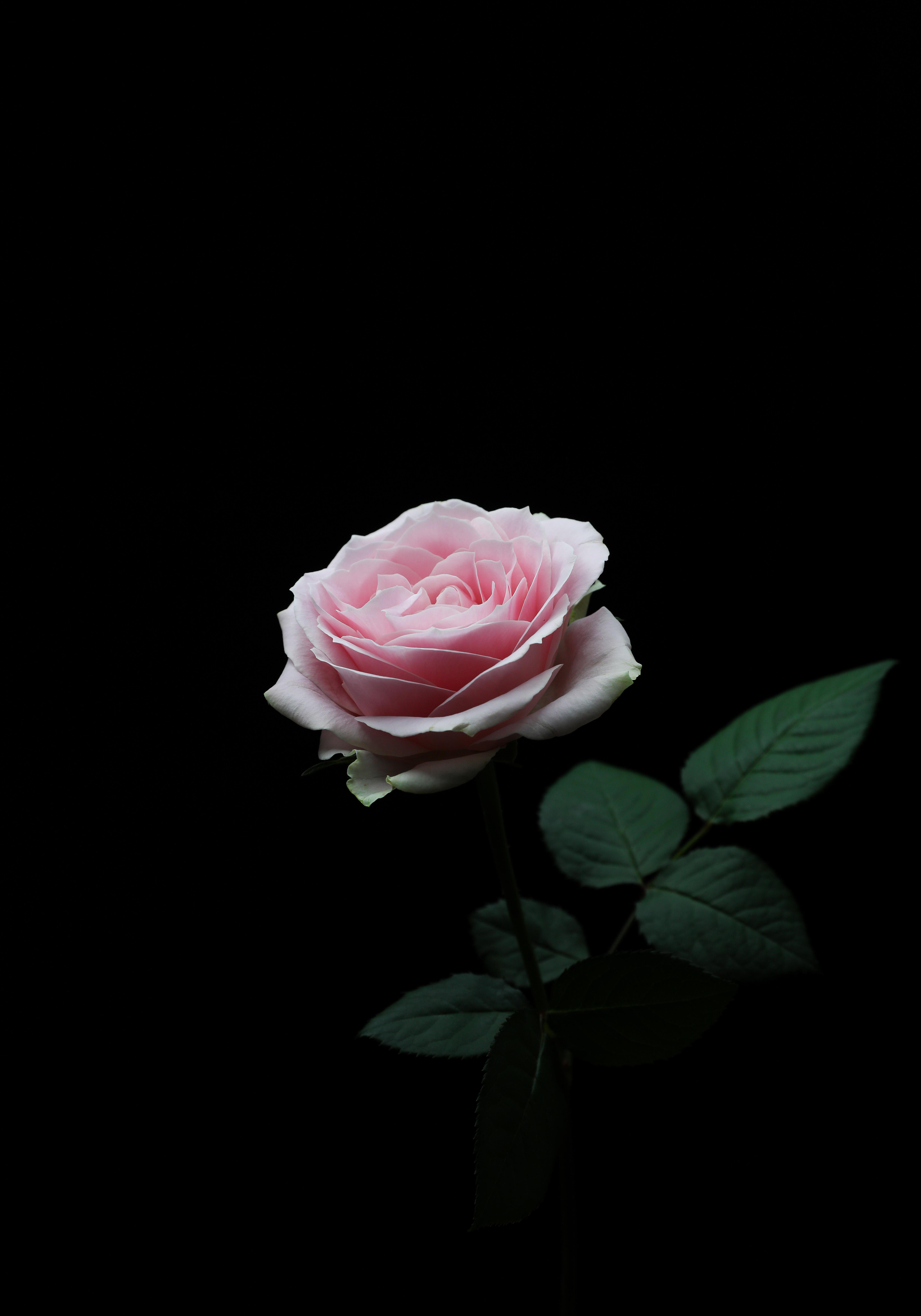 136562 скачать обои Цветы, Цветок, Роза, Лепестки, Бутон, Розовый - заставки и картинки бесплатно