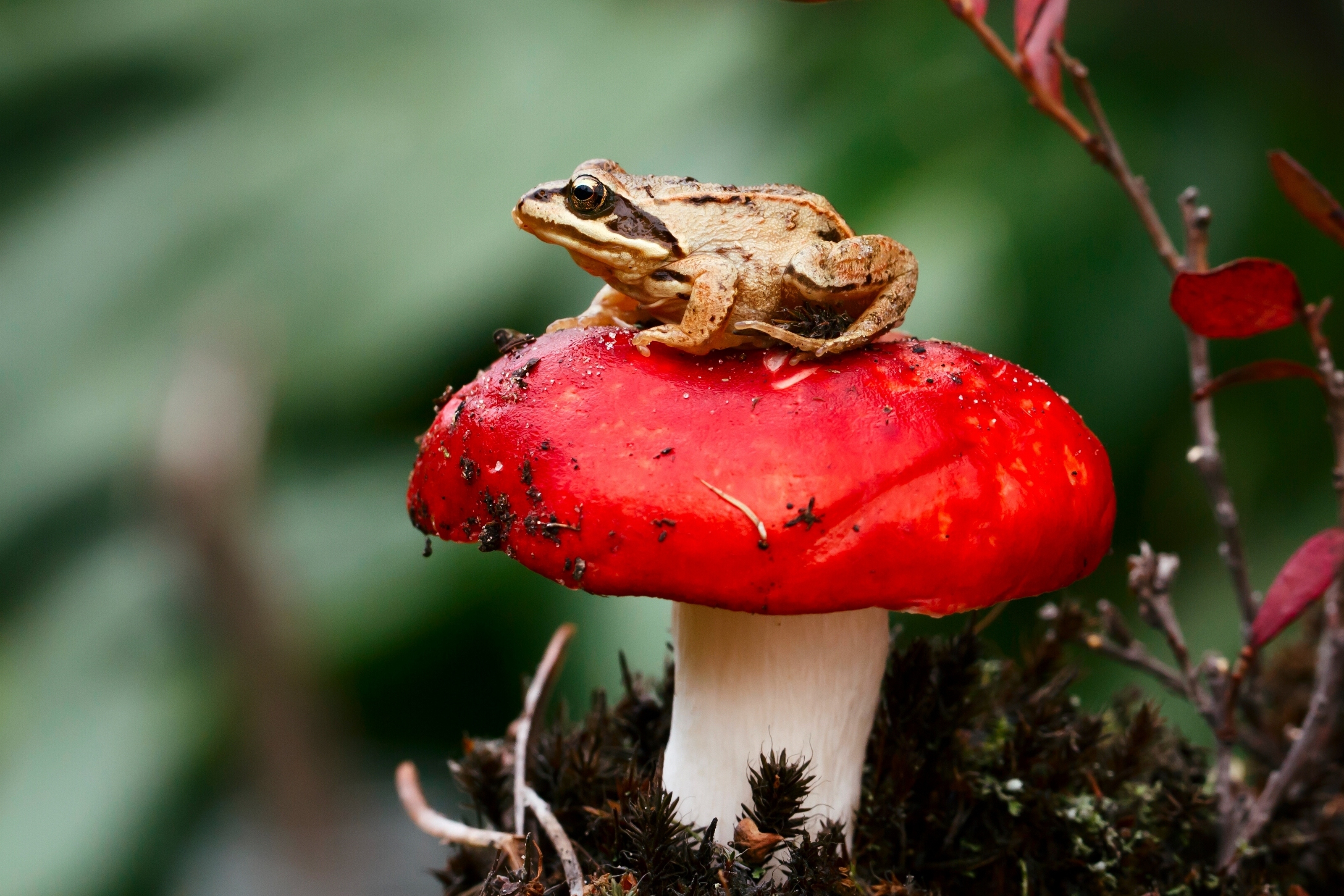 110404 Screensavers and Wallpapers Sit for phone. Download Macro, Sit, Mushroom, Frog, Toadstool pictures for free