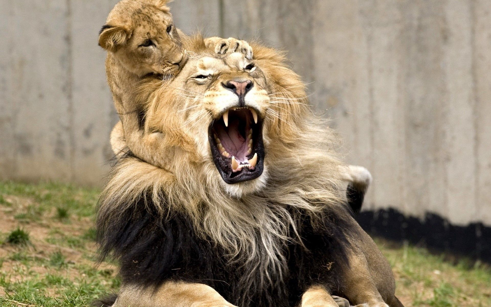152986 Hintergrundbild herunterladen Tiere, Junge, Grinsen, Grin, Ein Löwe, Löwe, Spiel, Das Spiel, Joey, Schrei, Weinen - Bildschirmschoner und Bilder kostenlos