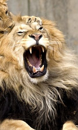 152986 download wallpaper Animals, Lion, Grin, Scream, Cry, Game, Young, Joey screensavers and pictures for free