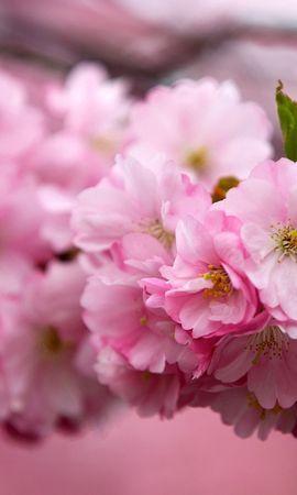 21503 скачать обои Растения, Цветы, Деревья, Сакура - заставки и картинки бесплатно