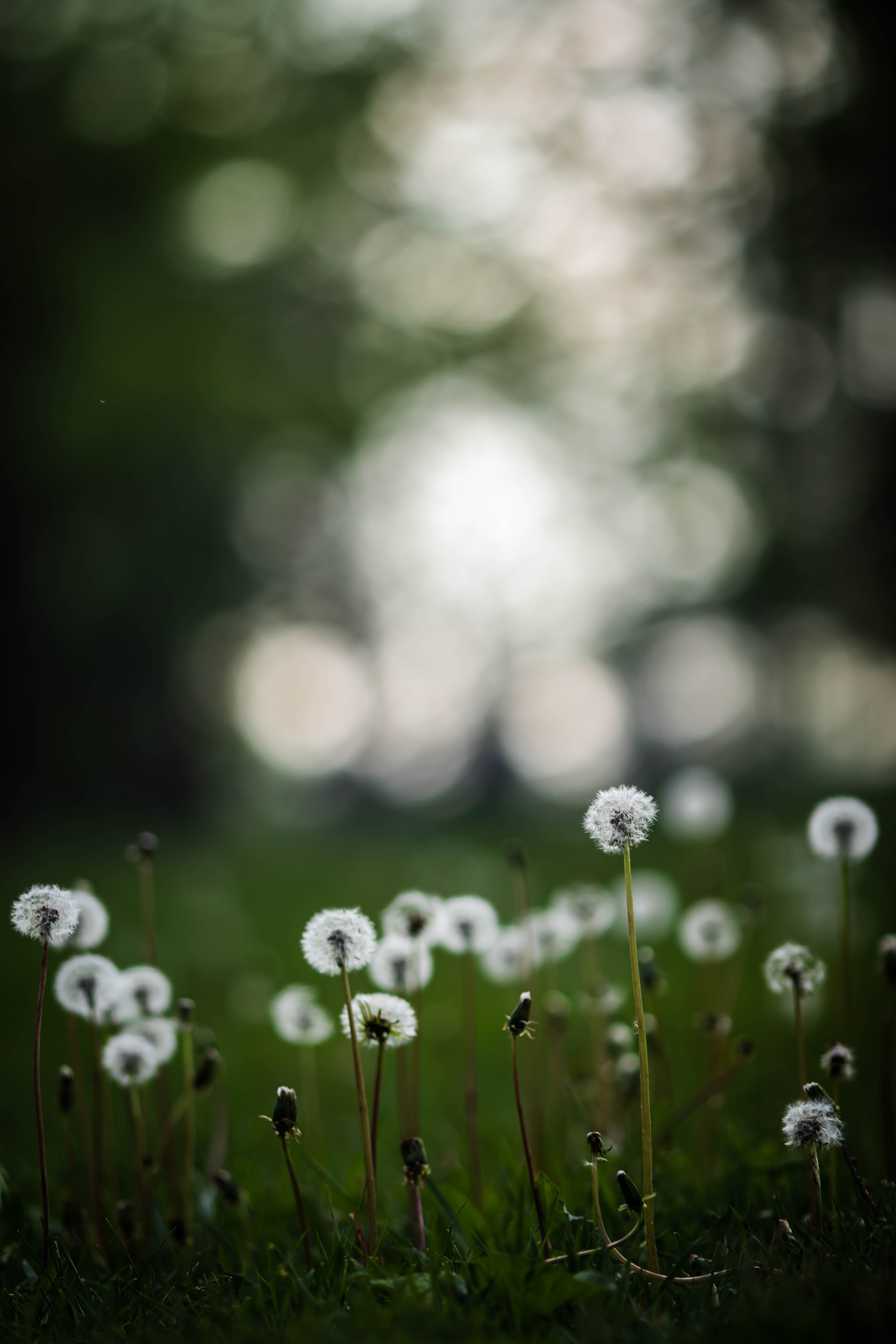 66520 download wallpaper Plants, Nature, Grass, Dandelions, Field screensavers and pictures for free