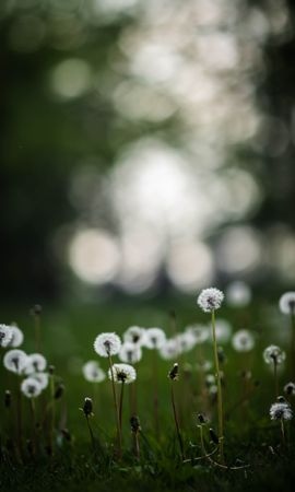 66520 скачать обои Природа, Одуванчики, Растения, Трава, Поле - заставки и картинки бесплатно