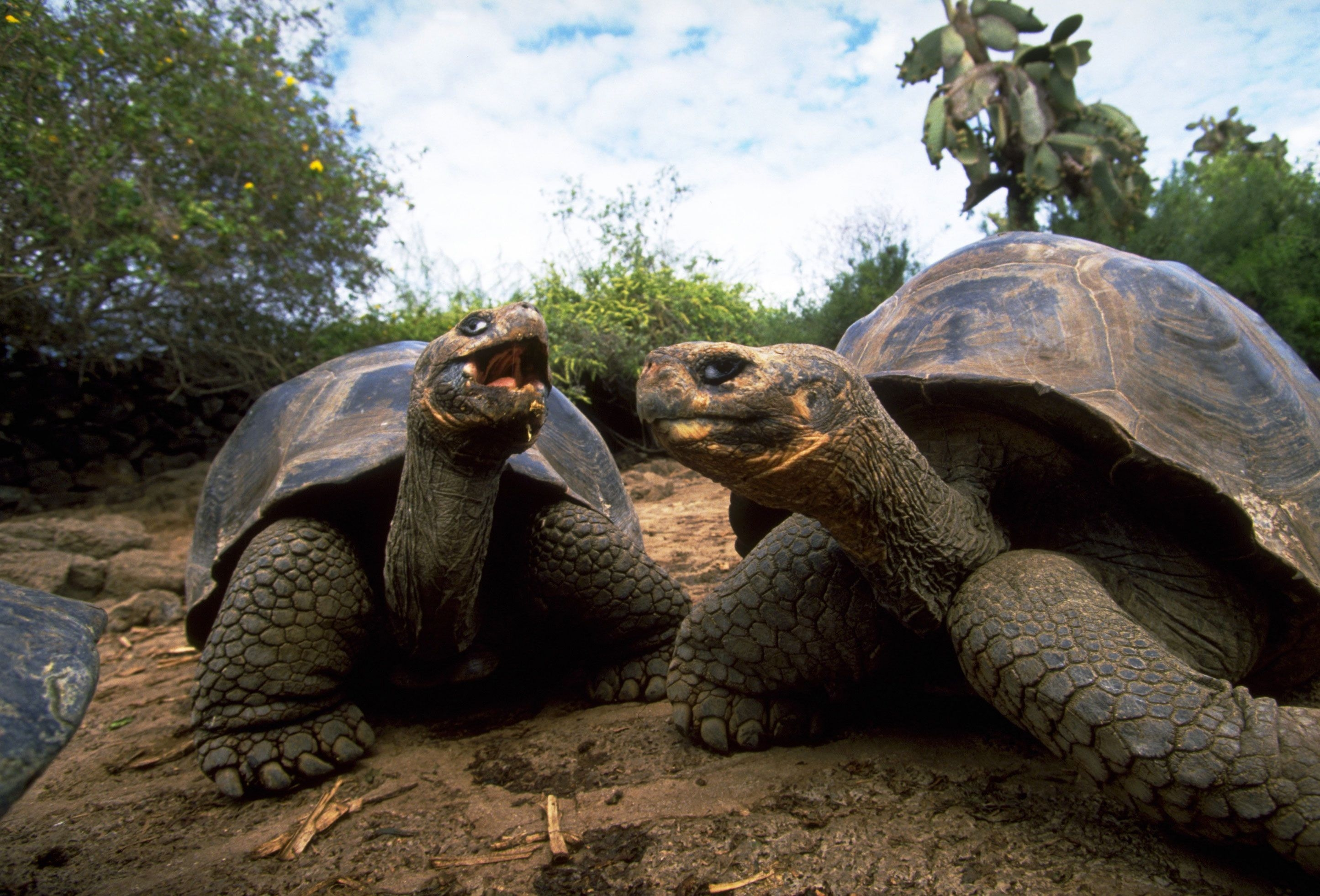 51390 download wallpaper Animals, Turtles, Couple, Pair, Reptiles, Mud, Dirt screensavers and pictures for free