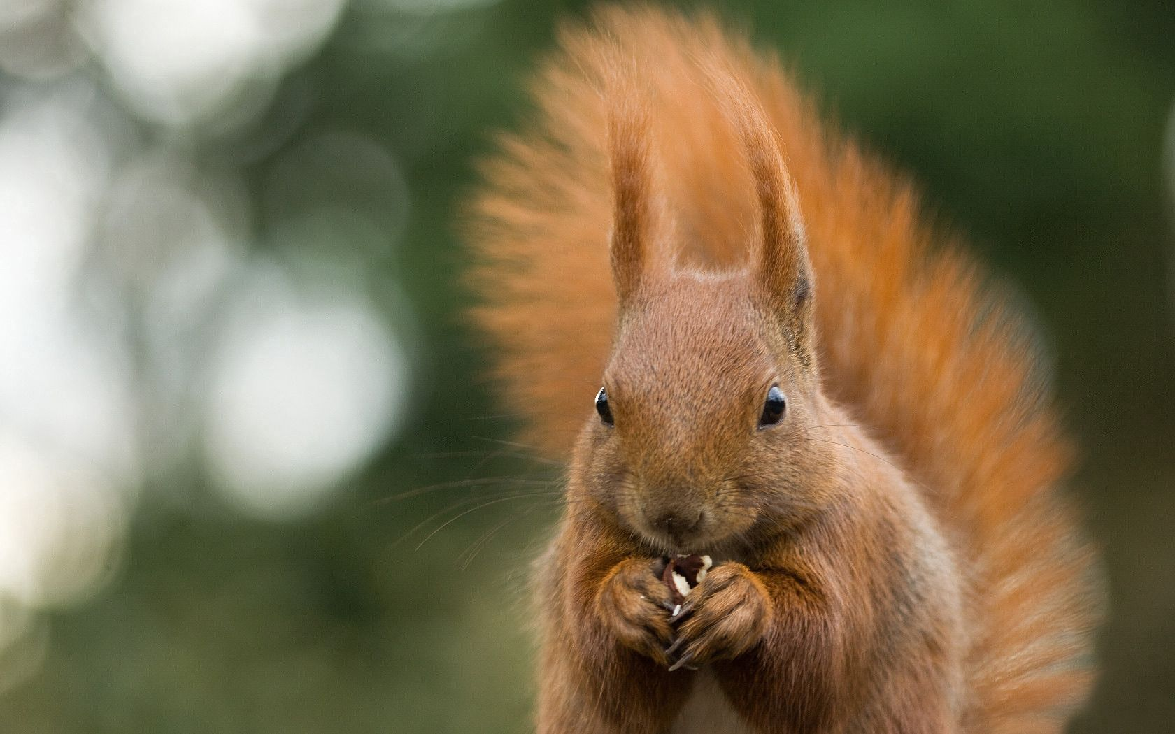 99908 download wallpaper Animals, Squirrel, Animal, Gnaws, Eats, Nut, Glare screensavers and pictures for free