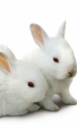18363 download wallpaper Animals, Rabbits screensavers and pictures for free
