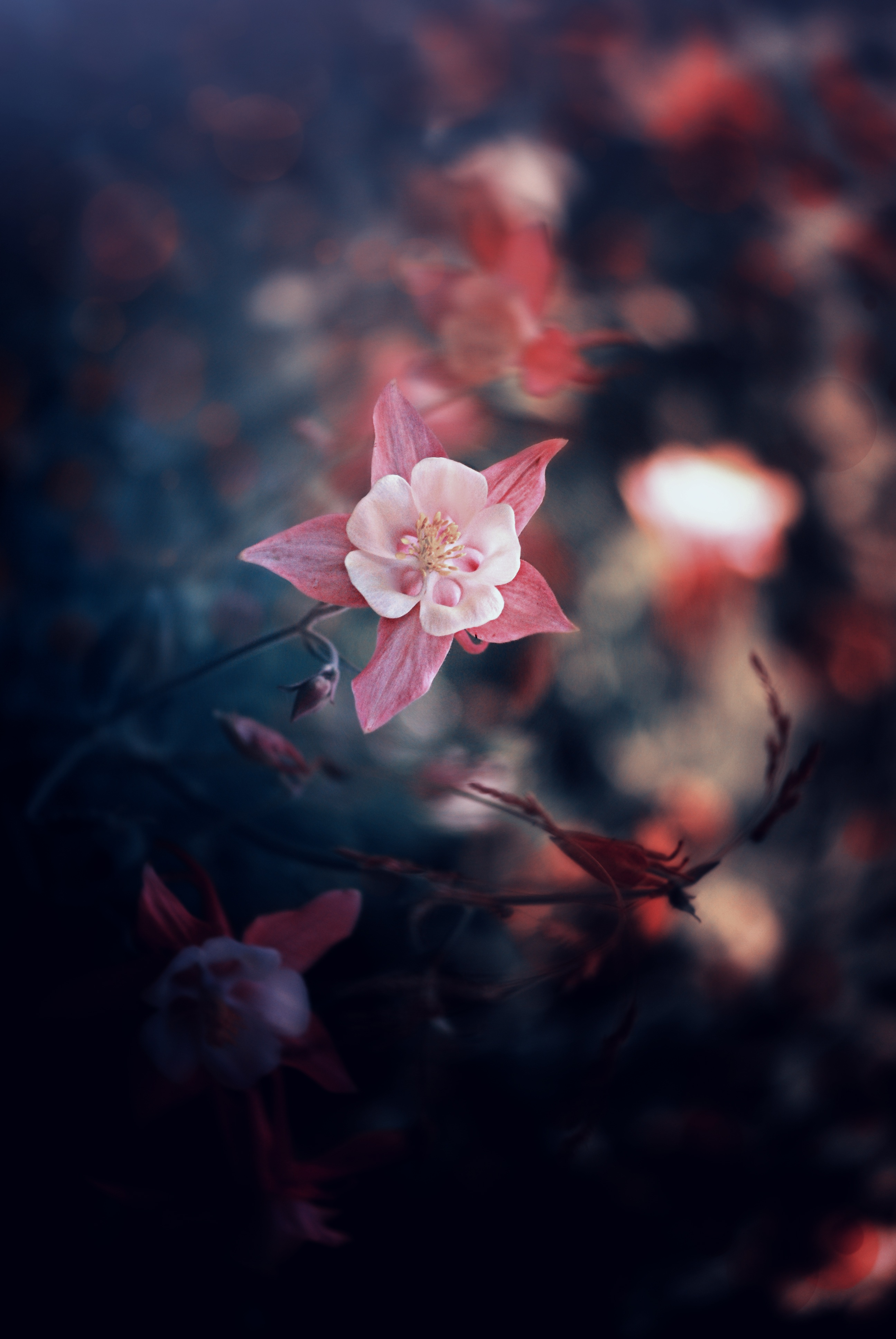137365 Screensavers and Wallpapers Petals for phone. Download Flowers, Leaves, Pink, Flower, Petals, Blur, Smooth, Bloom, Flowering pictures for free