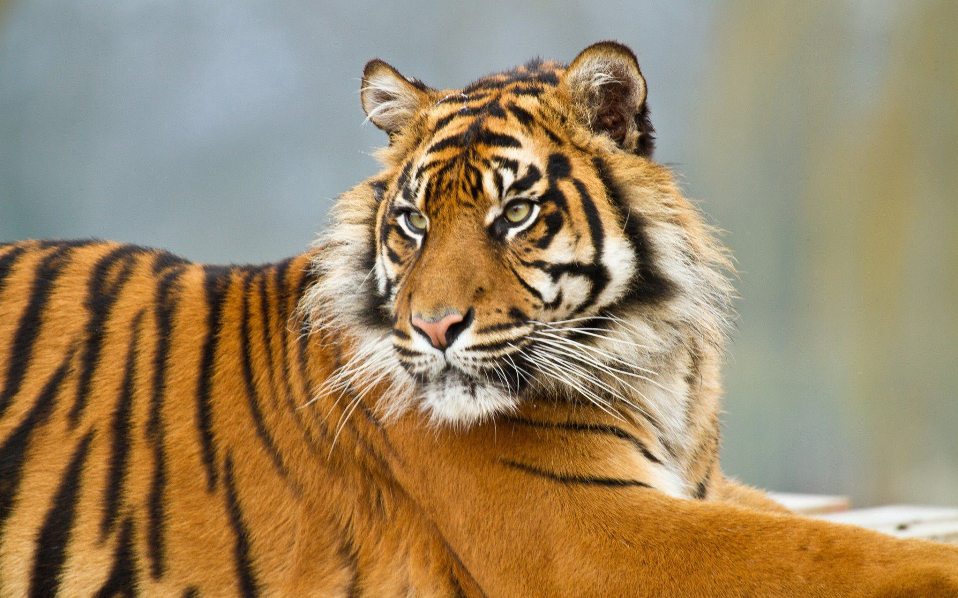 55023 Screensavers and Wallpapers Striped for phone. Download Animals, Striped, Predator, Big Cat, Tiger pictures for free