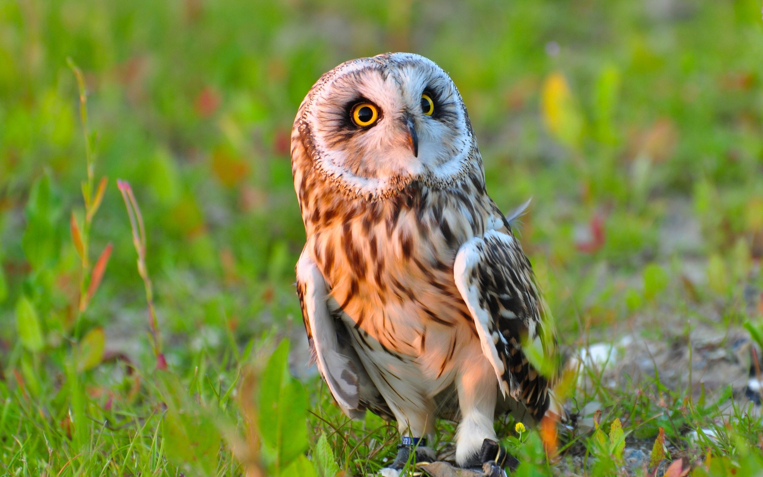 87021 download wallpaper Animals, Owl, Bird, Predator, Grass screensavers and pictures for free