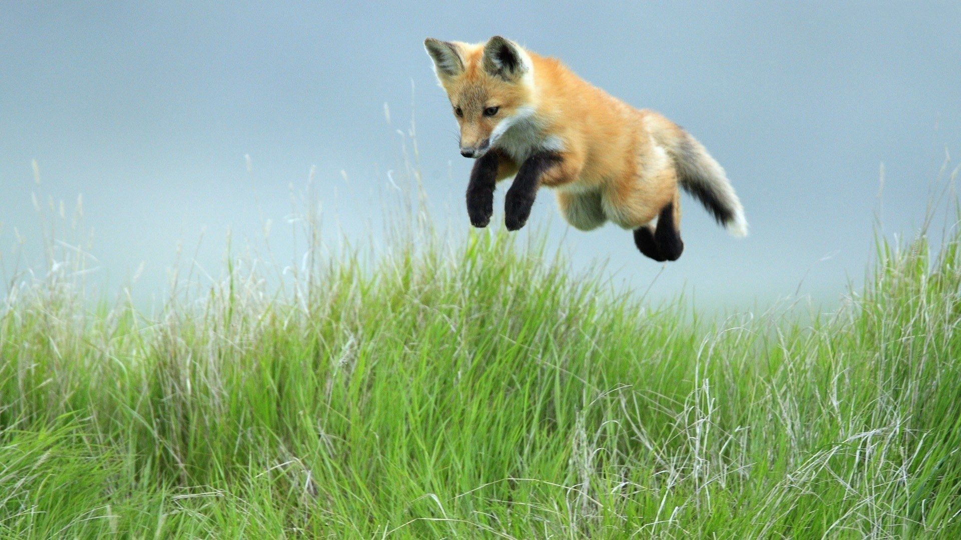103799 Hintergrundbild herunterladen Tiere, Fuchs, Grass, Ein Fuchs, Prallen, Springen, Pfoten - Bildschirmschoner und Bilder kostenlos