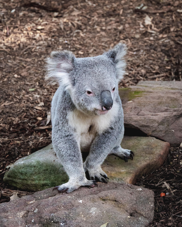Download mobile wallpaper Animal, Koala, Stones, Animals, Muzzle, Funny for free.
