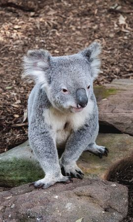 108079 download wallpaper Animals, Koala, Animal, Muzzle, Funny, Stones screensavers and pictures for free
