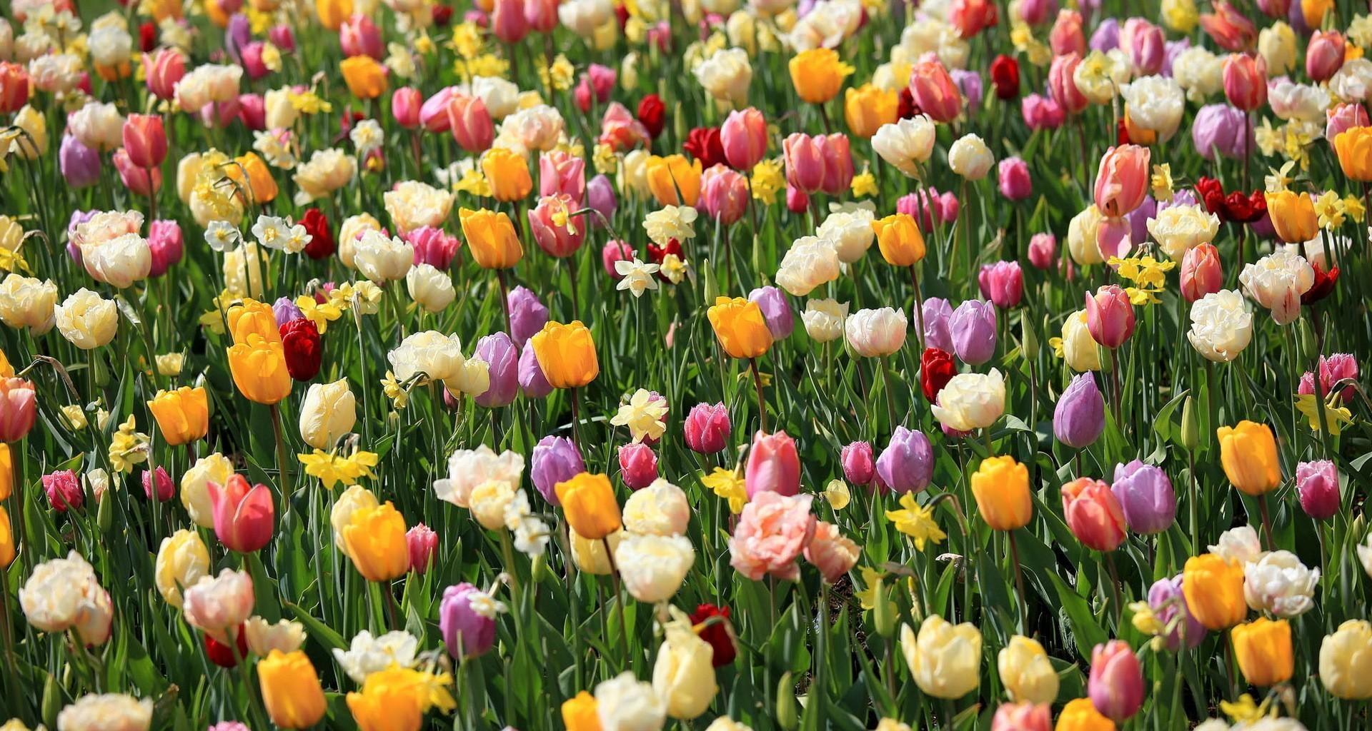 105718 Заставки и Обои Нарциссы на телефон. Скачать Цветы, Тюльпаны, Нарциссы, Клумба, Весна, Настроение картинки бесплатно