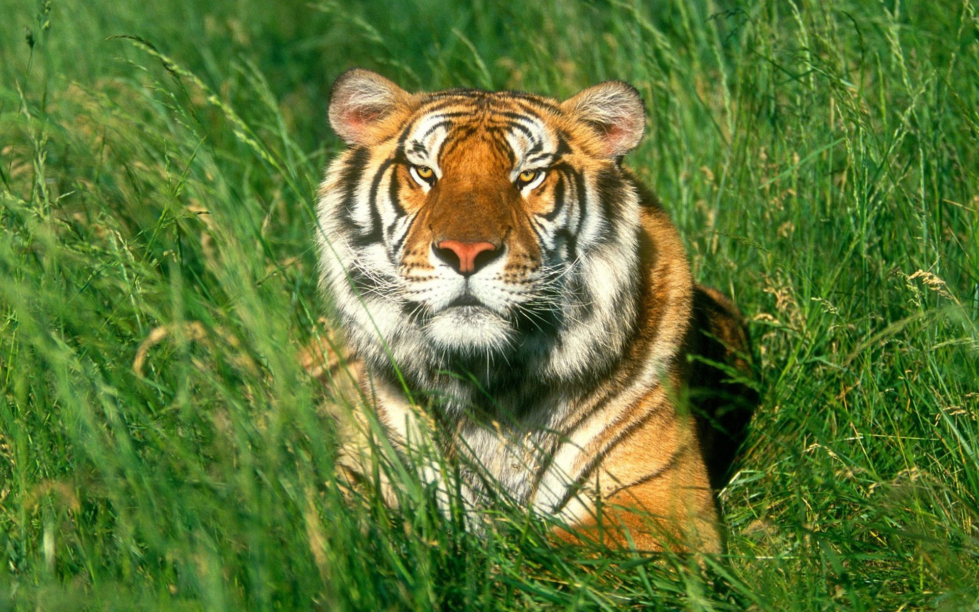 40383 download wallpaper Animals, Tigers screensavers and pictures for free