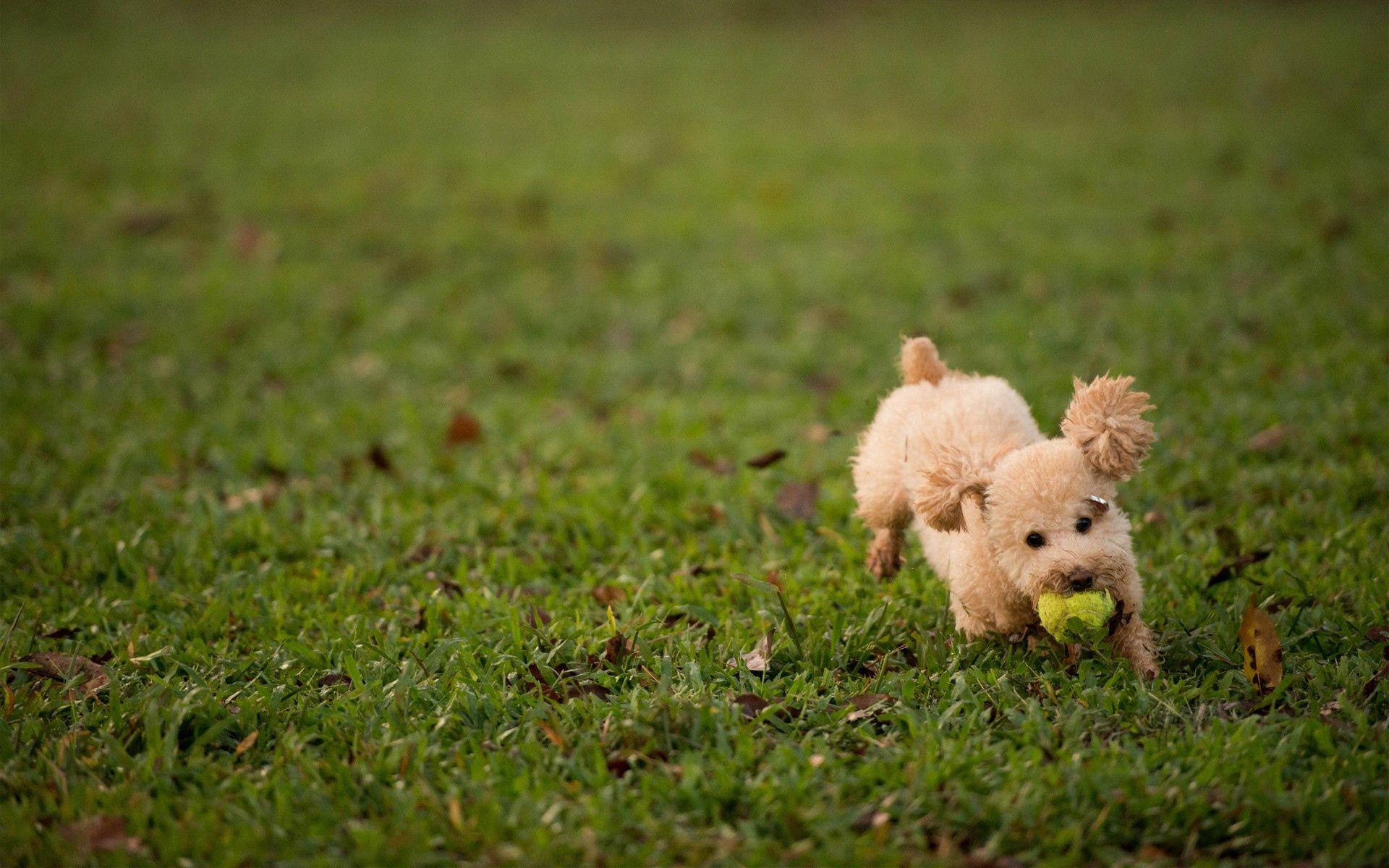 87164 скачать обои Животные, Собака, Трава, Мяч, Игрушка - заставки и картинки бесплатно