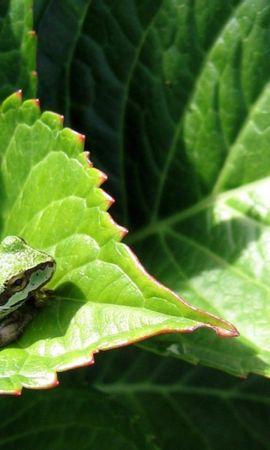 27193 baixar papel de parede Animais, Frogs - protetores de tela e imagens gratuitamente