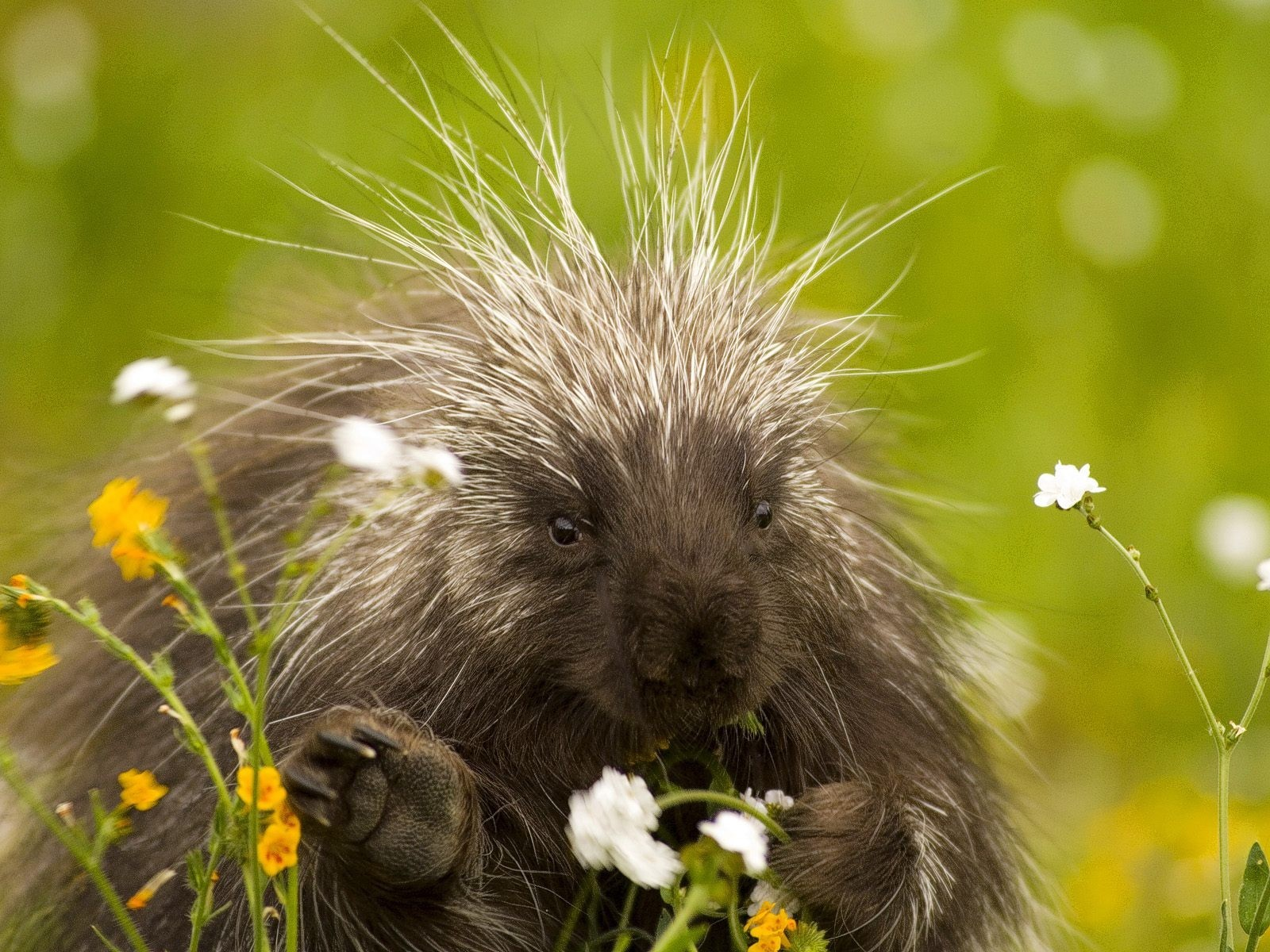 7834 download wallpaper Animals, Porcupine screensavers and pictures for free