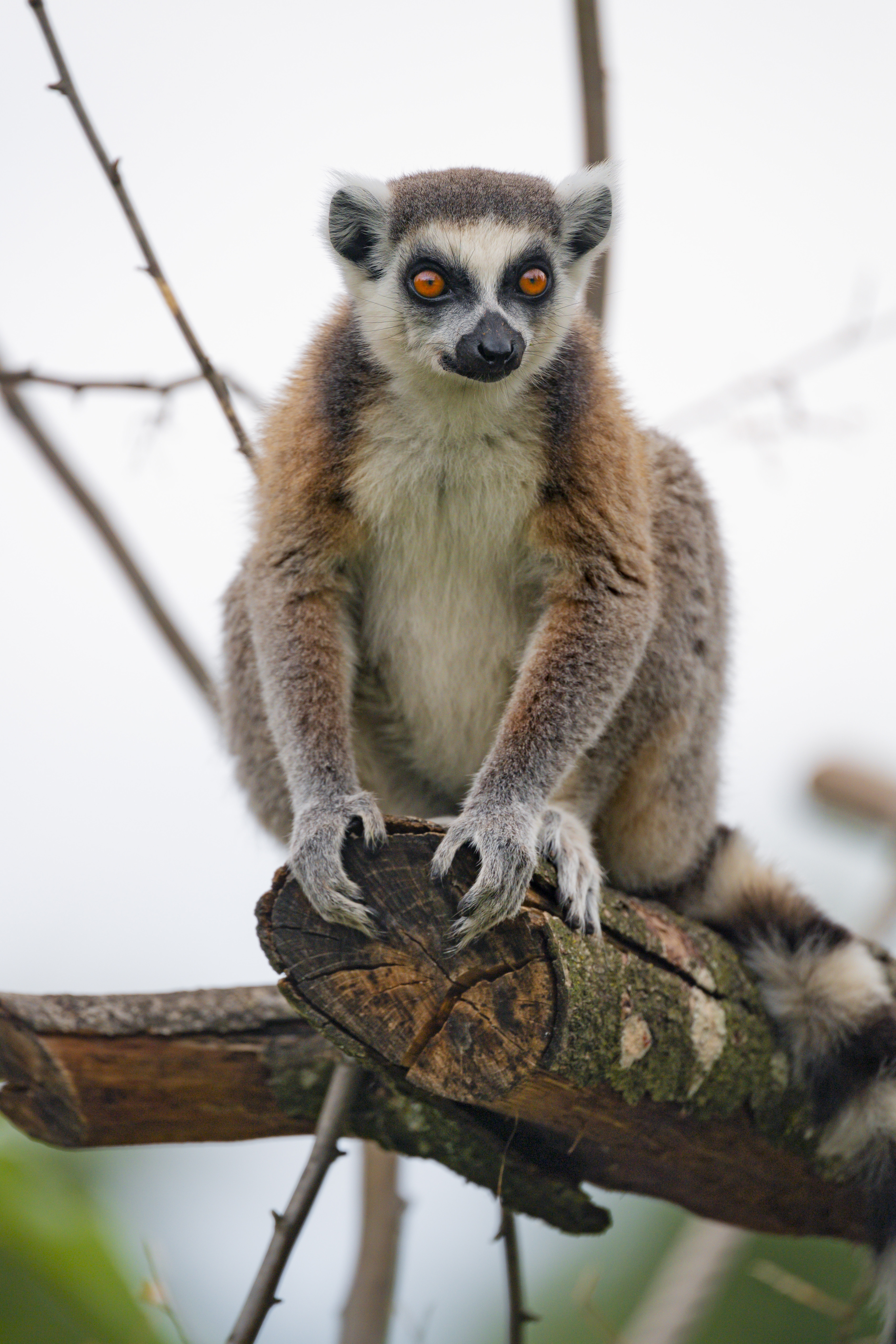 148415 download wallpaper Animals, Lemur, Animal, Sight, Opinion, Funny, Wood, Tree screensavers and pictures for free