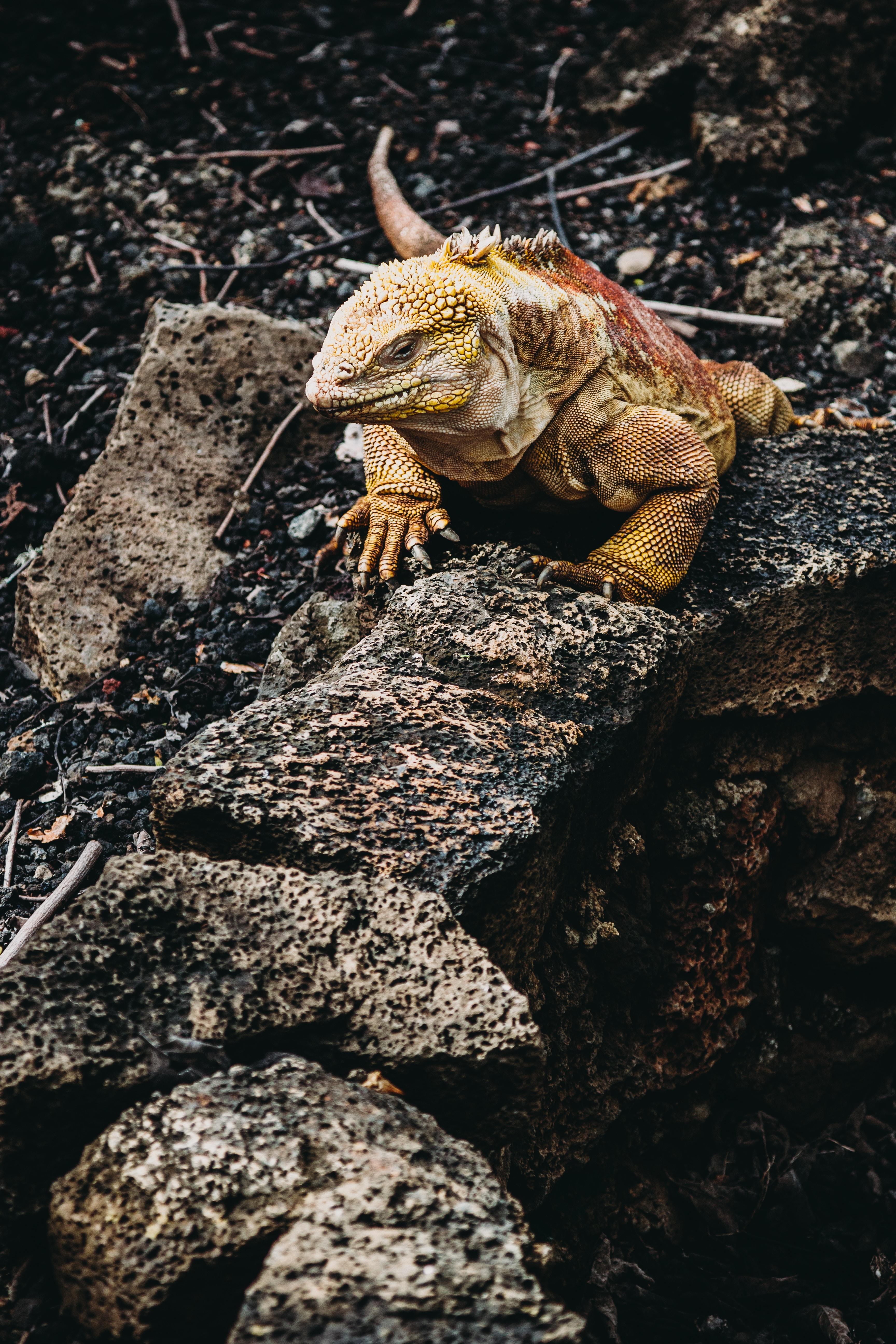 130214 Hintergrundbild herunterladen Tiere, Stones, Eidechse, Reptil, Reptile, Leguan, Iguana - Bildschirmschoner und Bilder kostenlos
