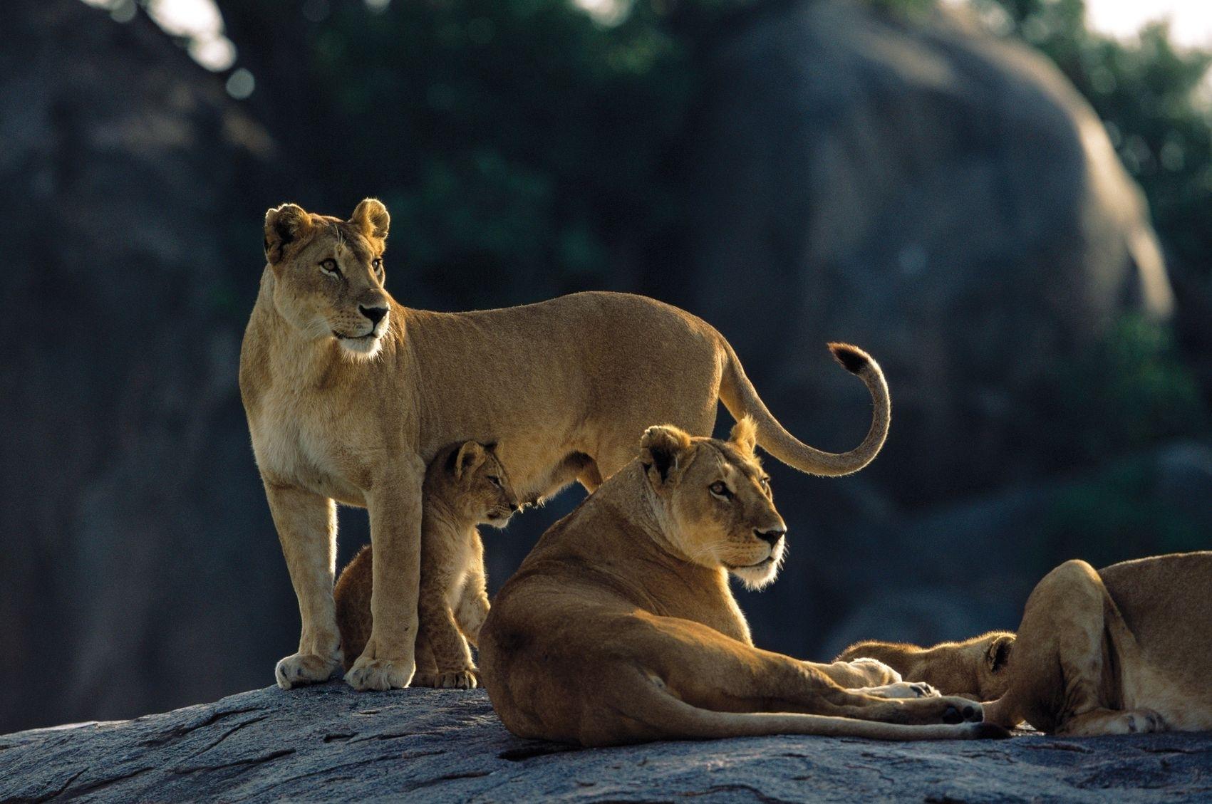 131283 download wallpaper Animals, Stones, To Lie Down, Lie, Family, Hunting, Hunt, Predators, Cubs, Young, Lions screensavers and pictures for free