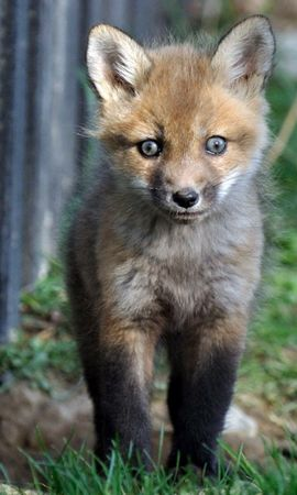 155991 download wallpaper Animals, Fox, Young, Joey, Grass, Stroll, Fright screensavers and pictures for free